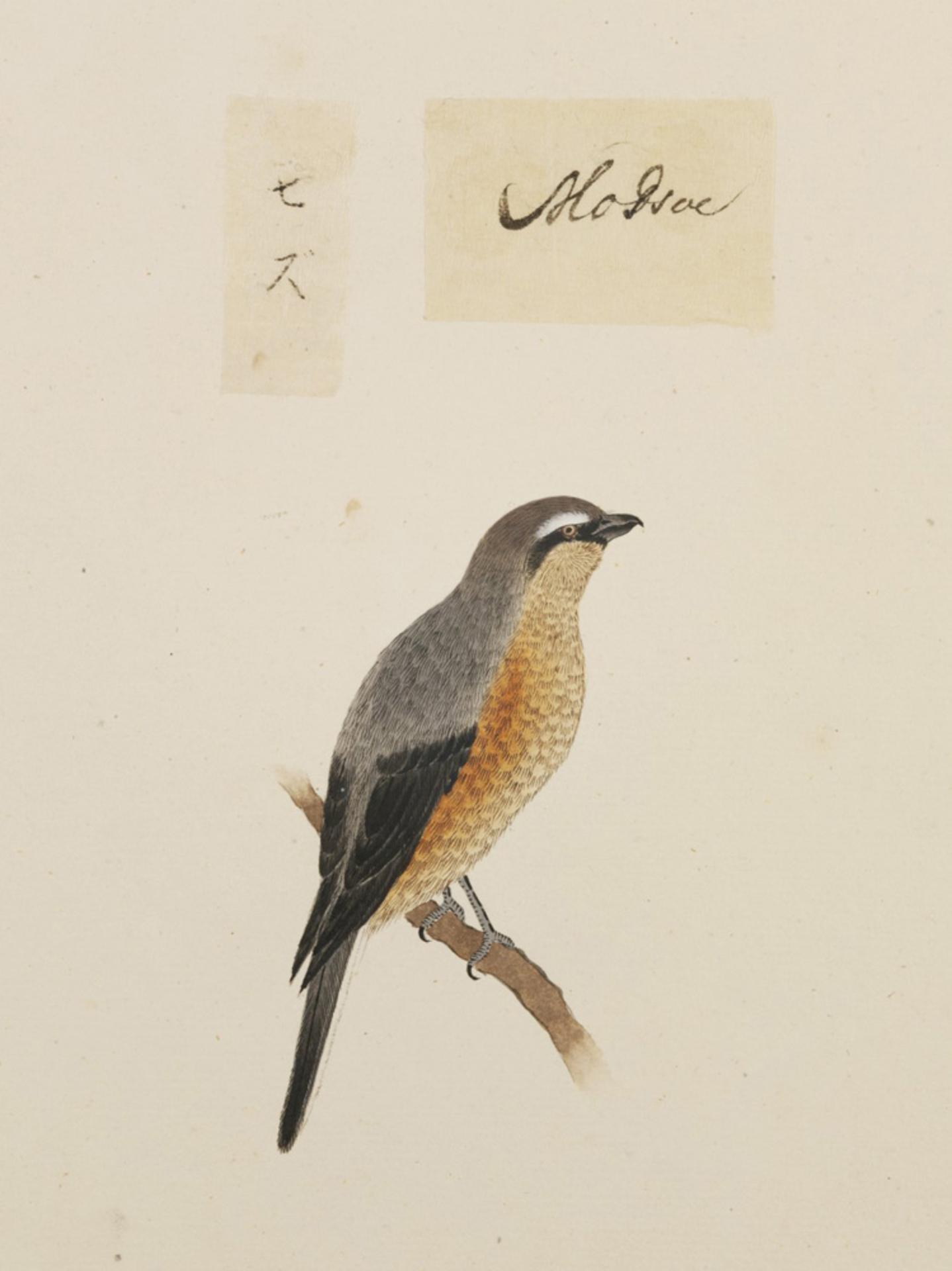 RMNH.ART.382 | Lanius bucephalus