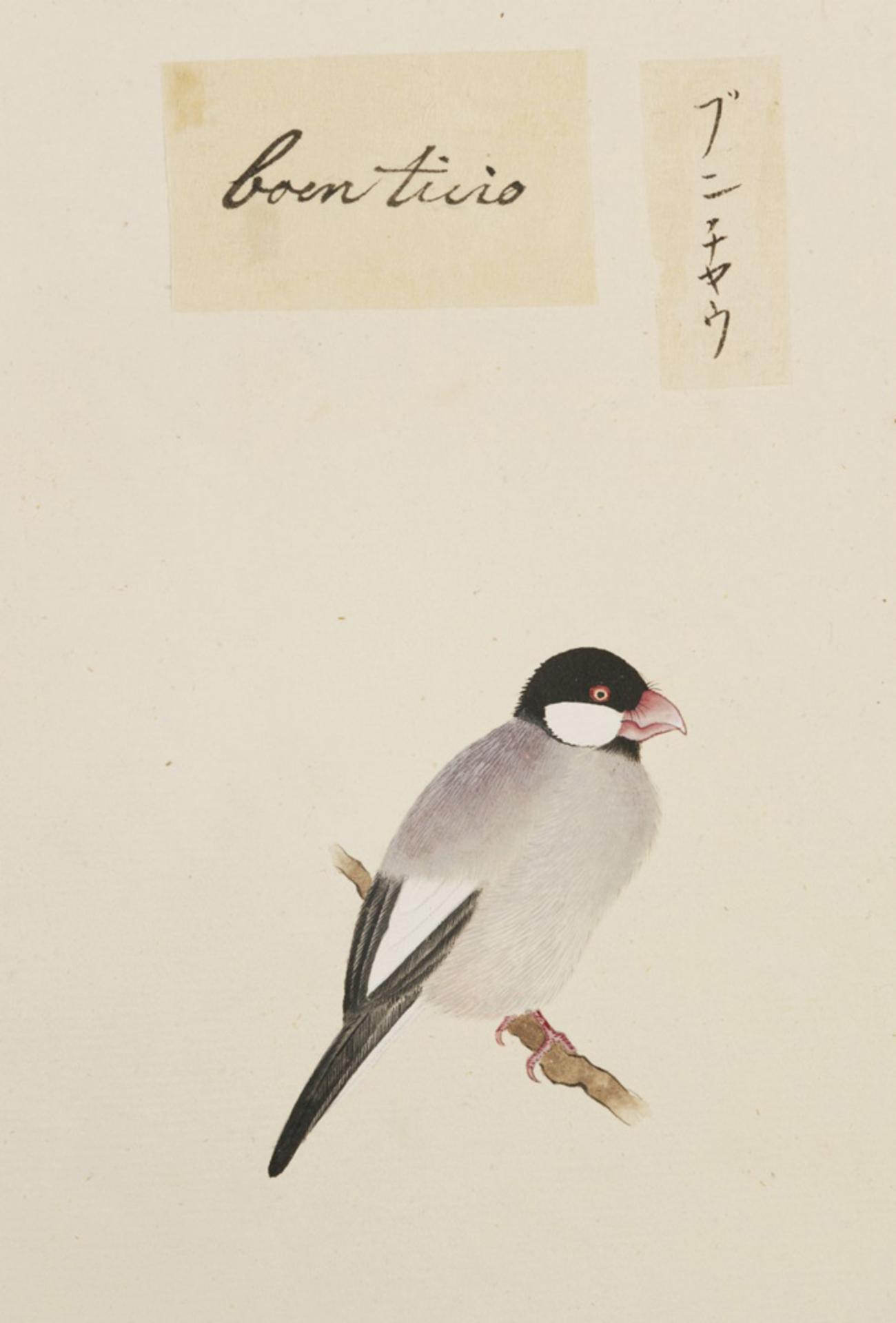 RMNH.ART.385 | Lonchura oryzivora