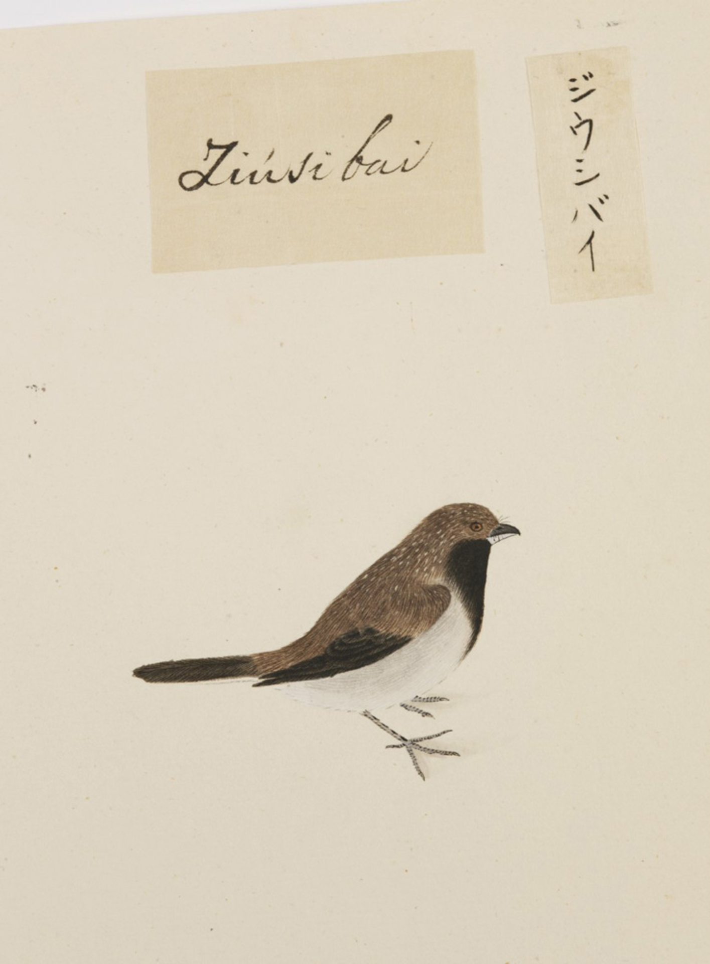 RMNH.ART.395 | Lonchura striata