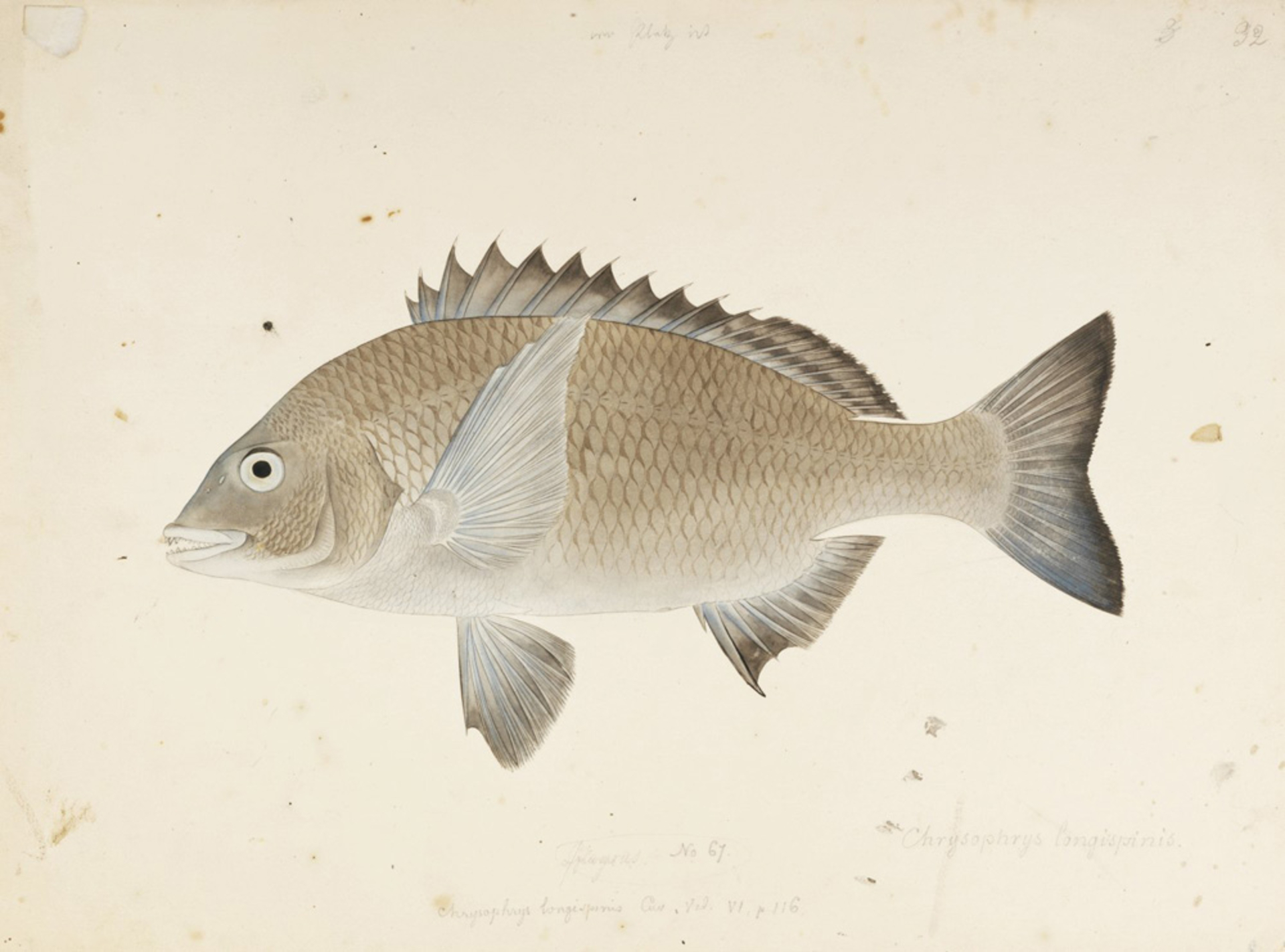 RMNH.ART.397 | Acanthopagrus schlegelii