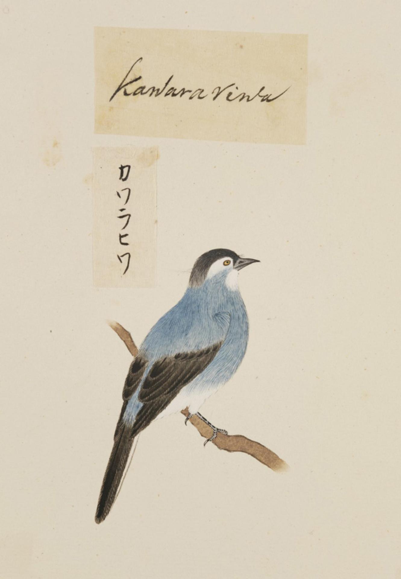 RMNH.ART.399 | Carduelis sinica
