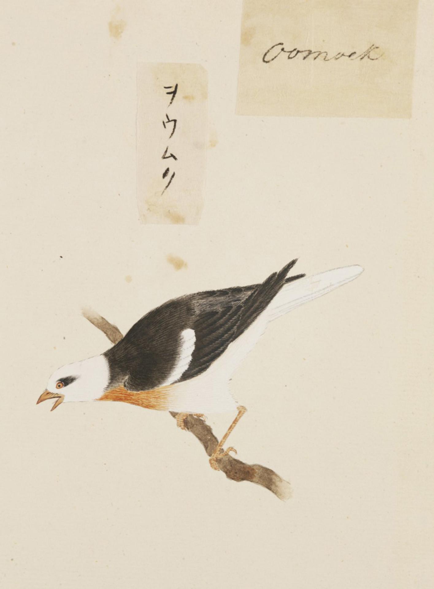 RMNH.ART.409   Sturnus cineraceus