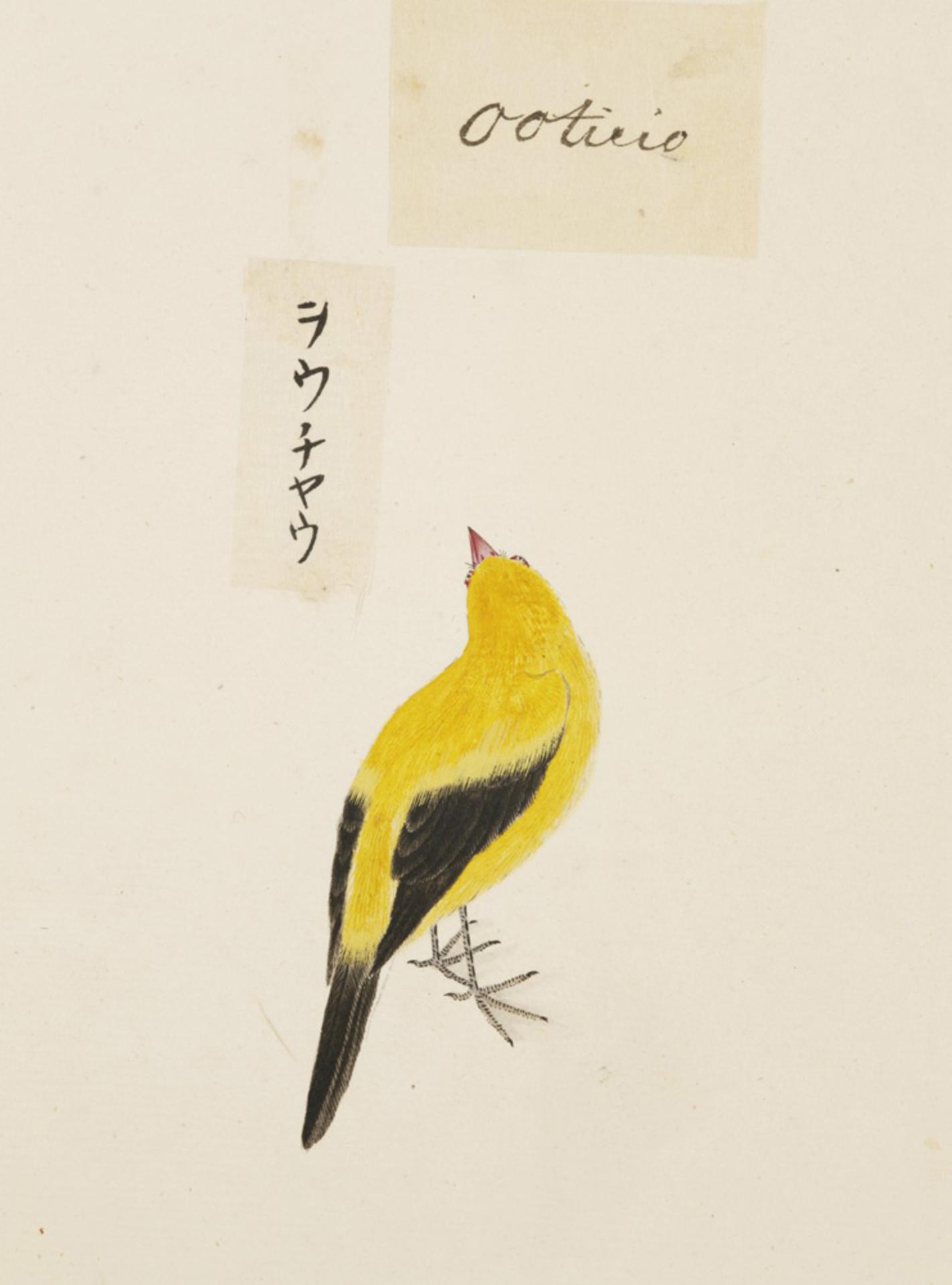 RMNH.ART.412 | Dicrurus macrocercus
