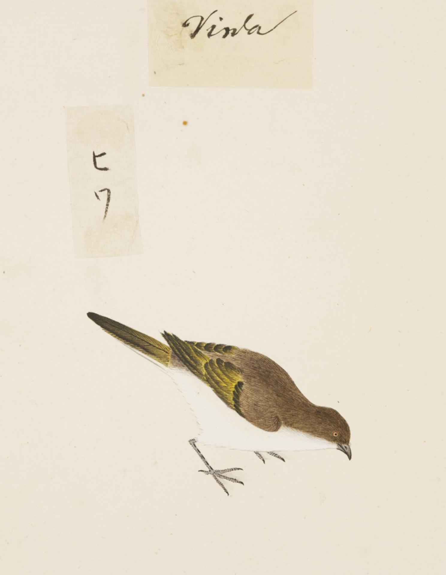 RMNH.ART.416   Carduelis sinica