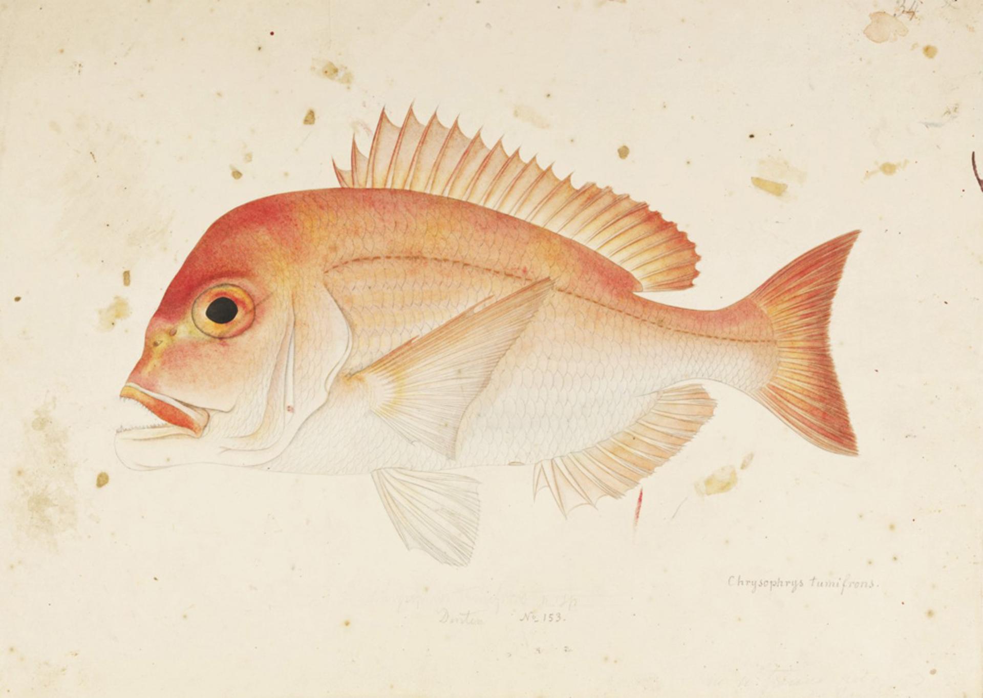 RMNH.ART.419 | Dentex tumifrons