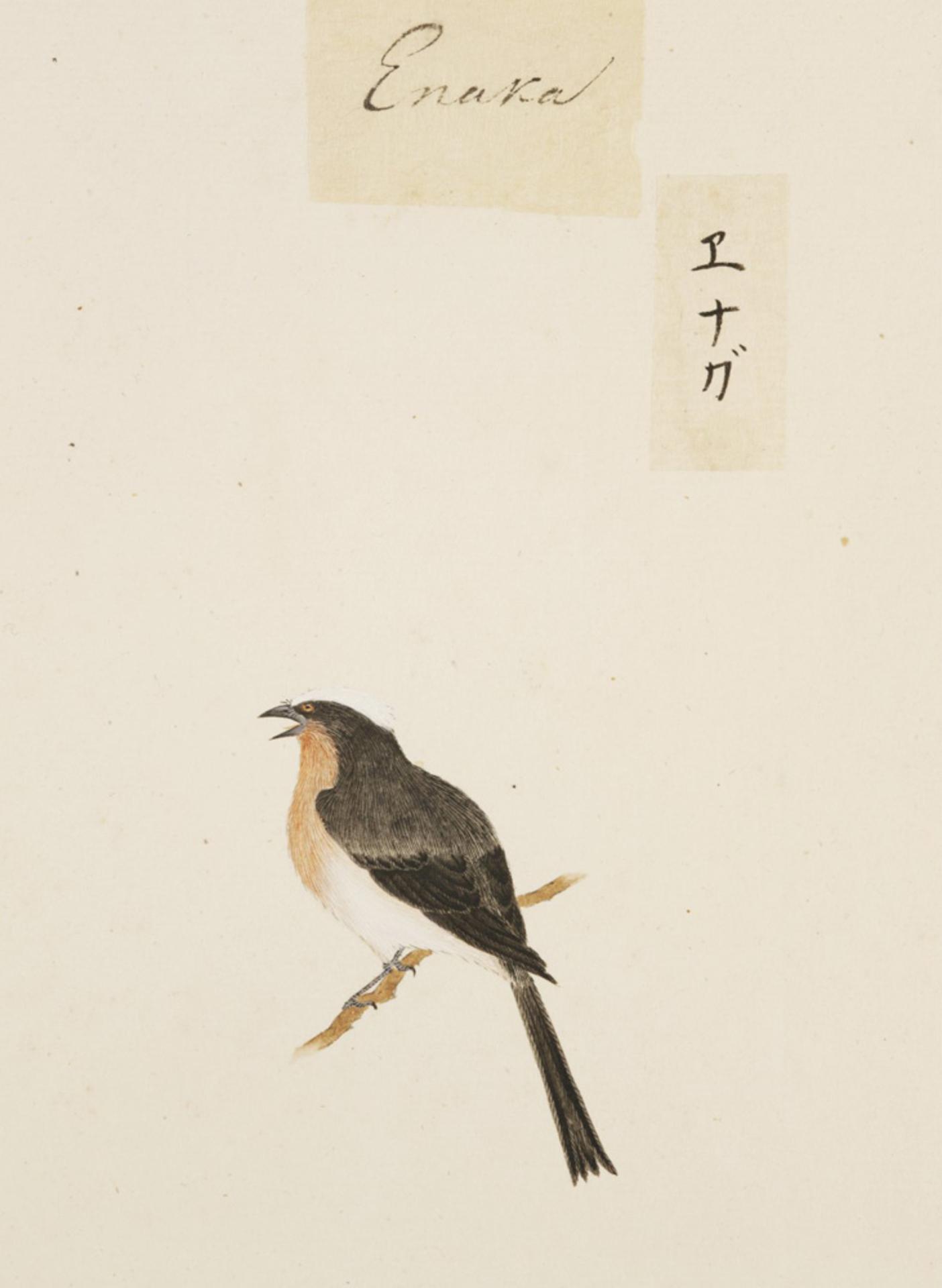 RMNH.ART.422 | Aegithalos caudatus