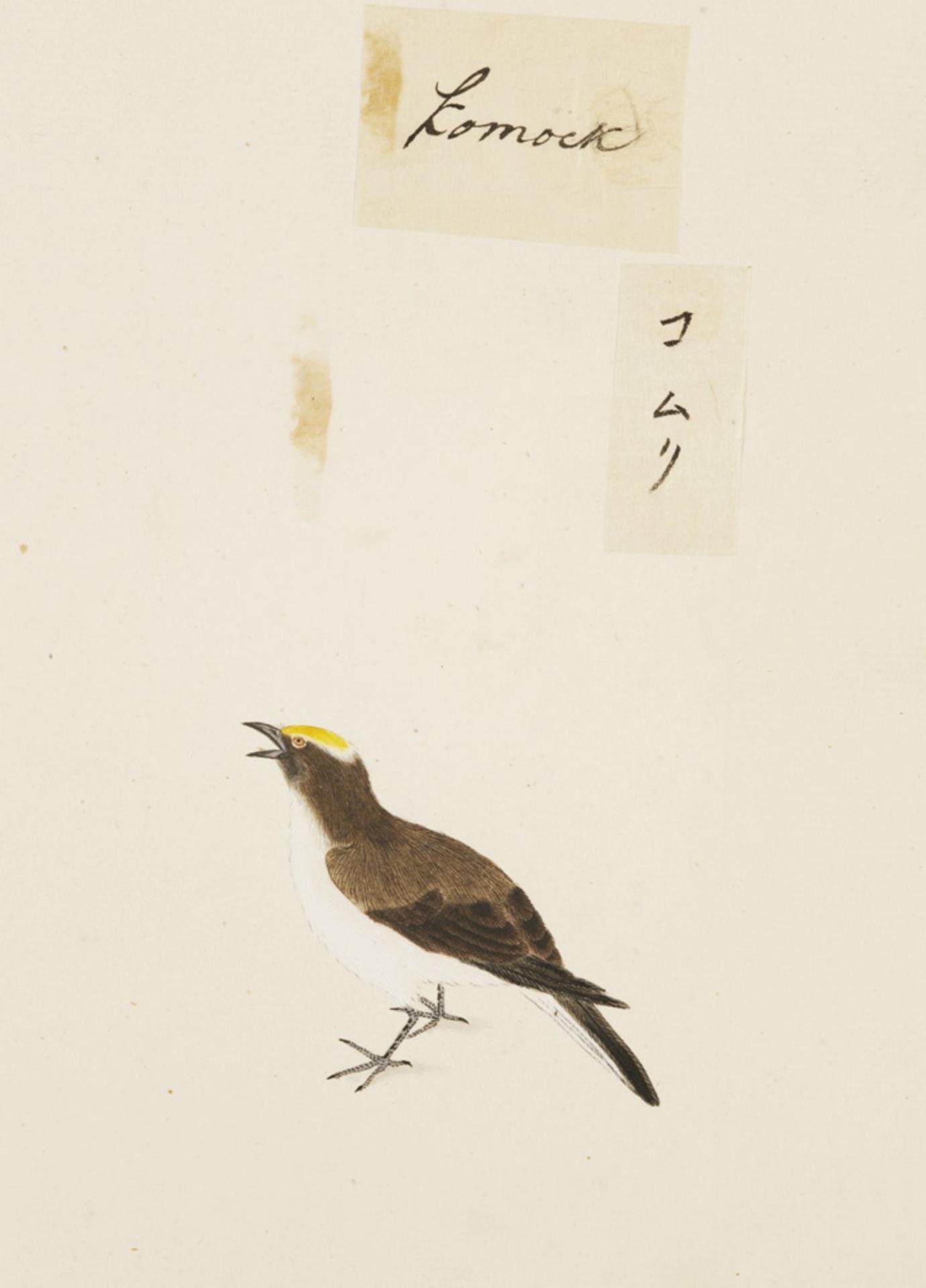 RMNH.ART.425 | Sturnus philippensis