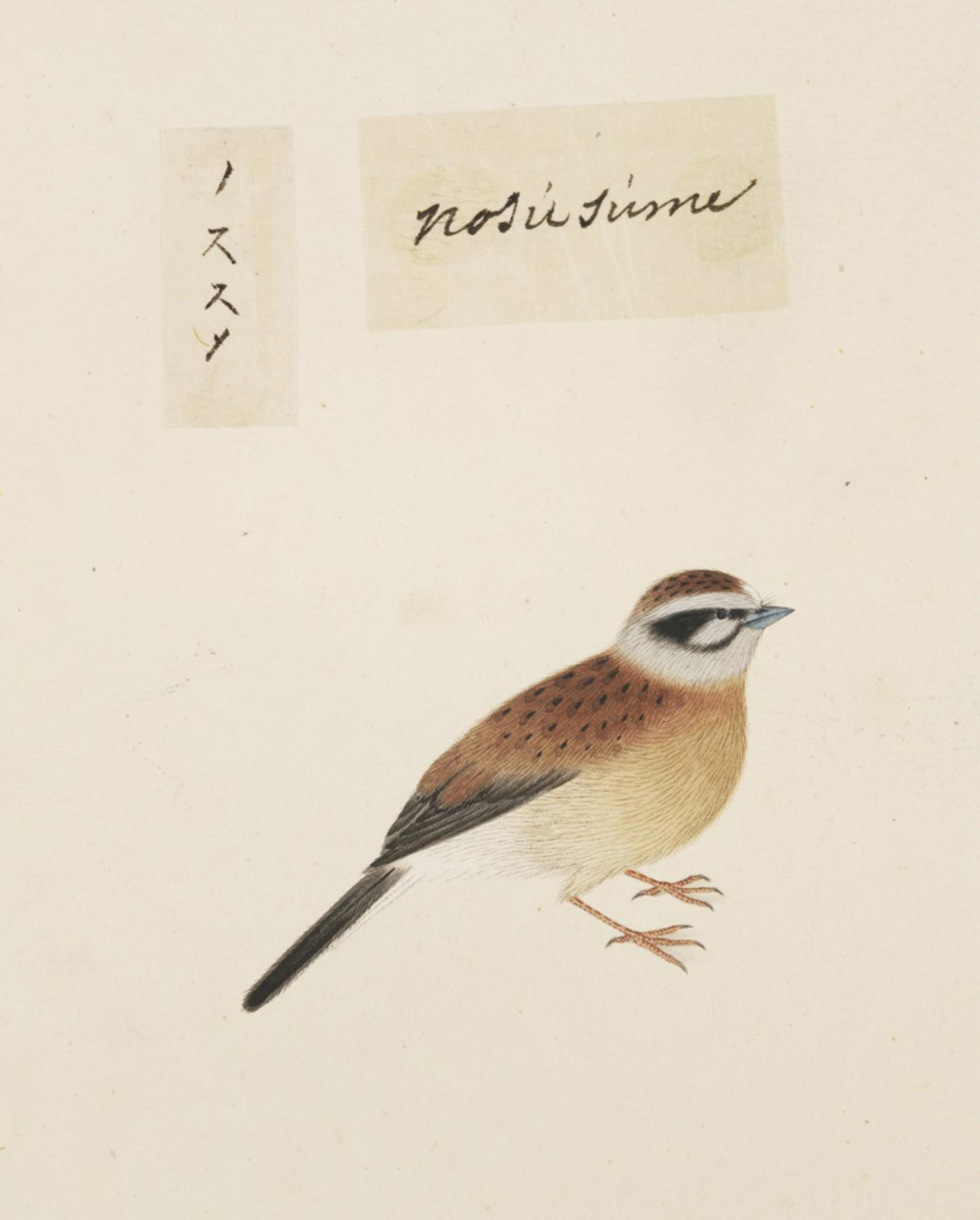 RMNH.ART.428 | Emberiza cioides