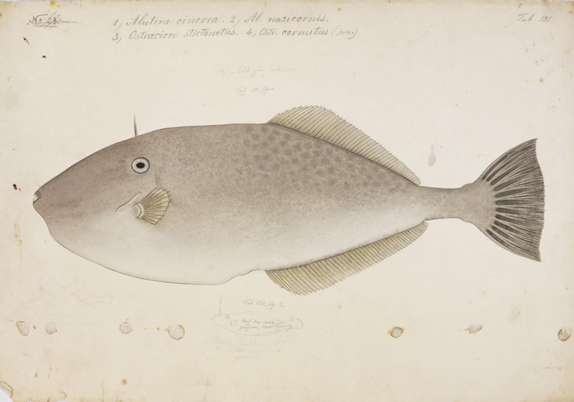 RMNH.ART.43 | Alutera monoceros