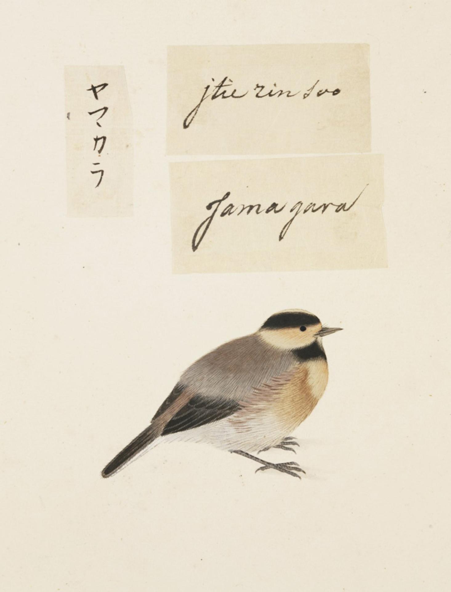 RMNH.ART.430 | Parus varius