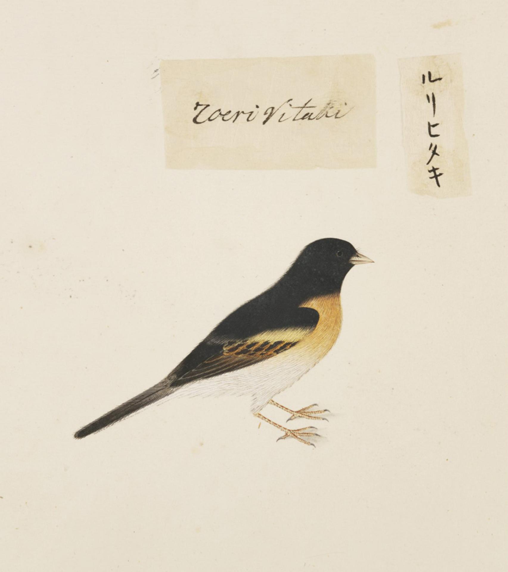 RMNH.ART.432 | Tarsiger cyanurus