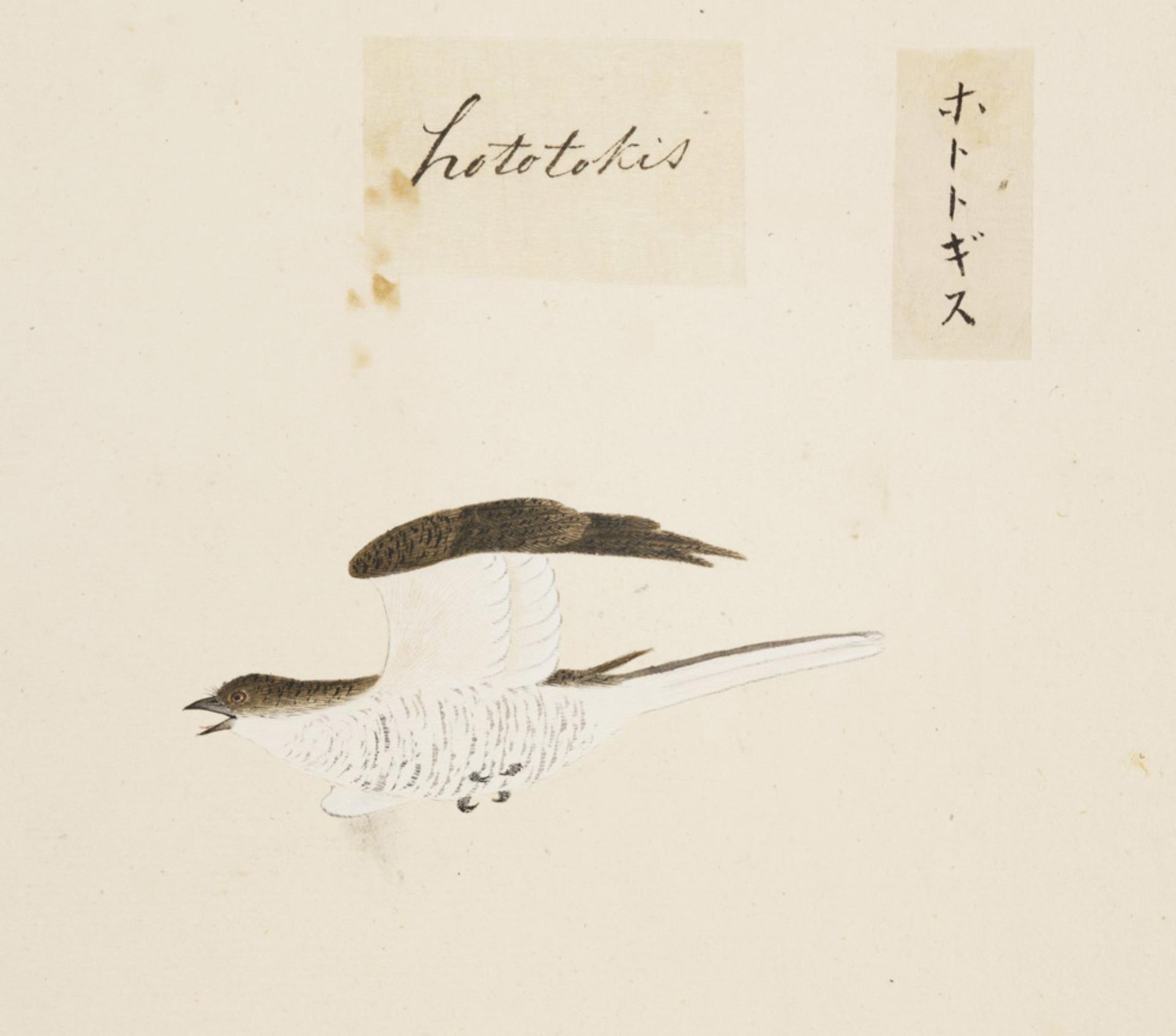 RMNH.ART.436 | Cuculus poliocephalus