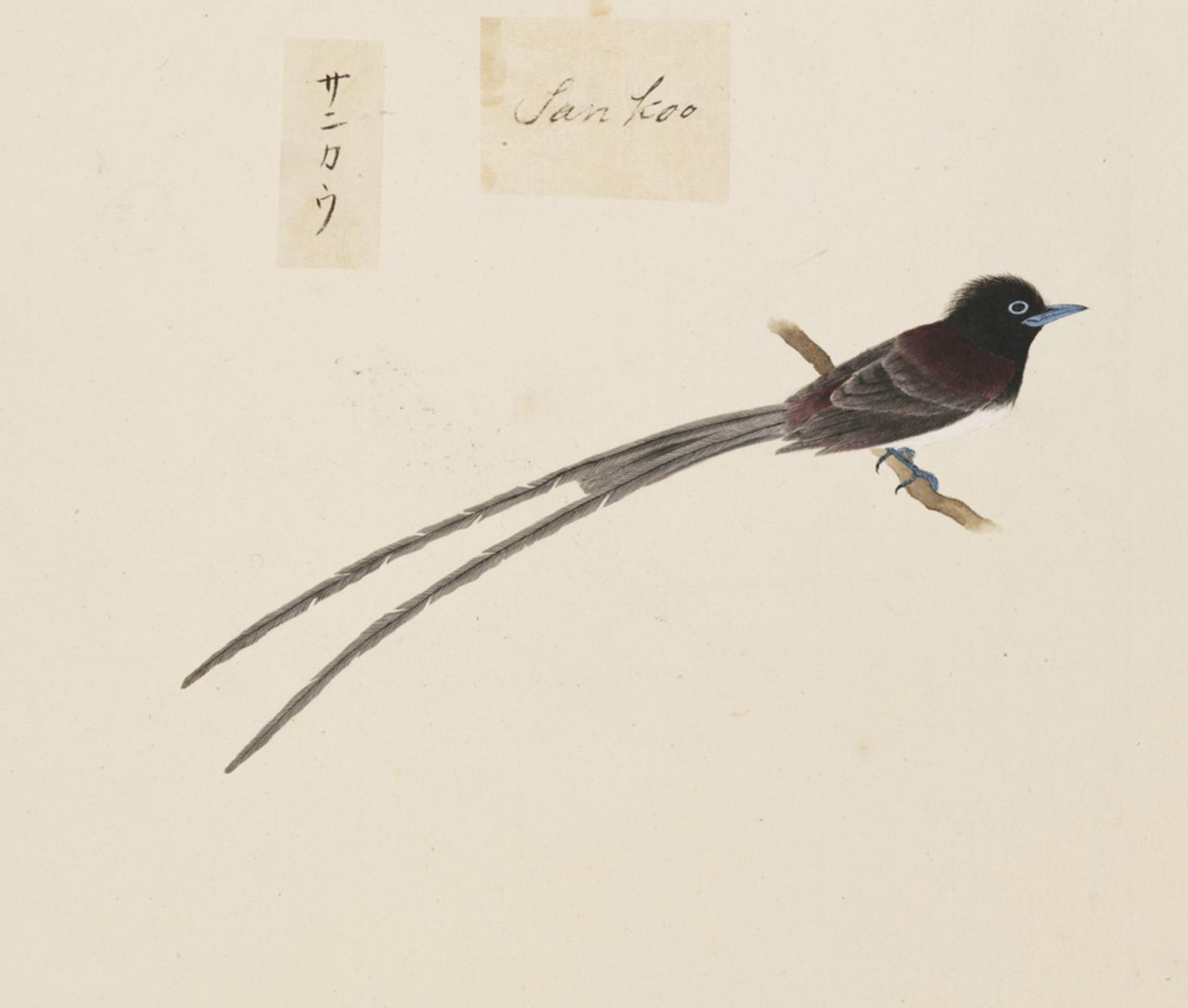 RMNH.ART.437   Terpsiphone atrocaudata