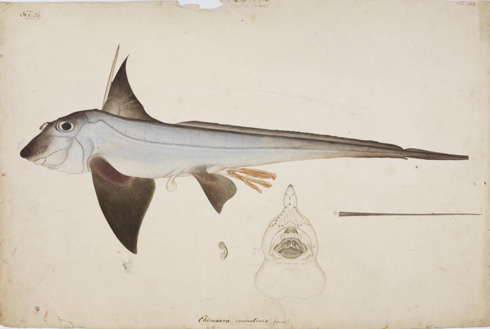 RMNH.ART.44 | Chimaera phantasma
