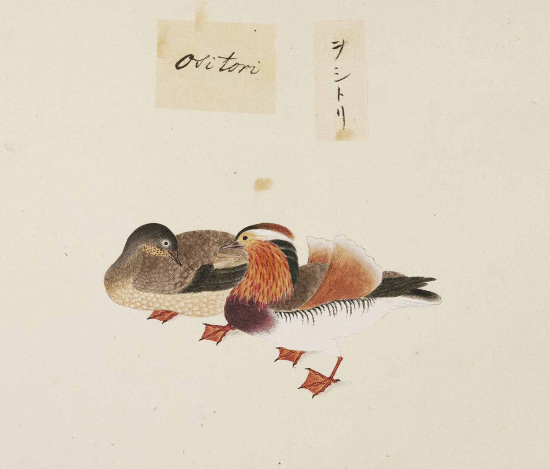 RMNH.ART.441 | Aix galericulata