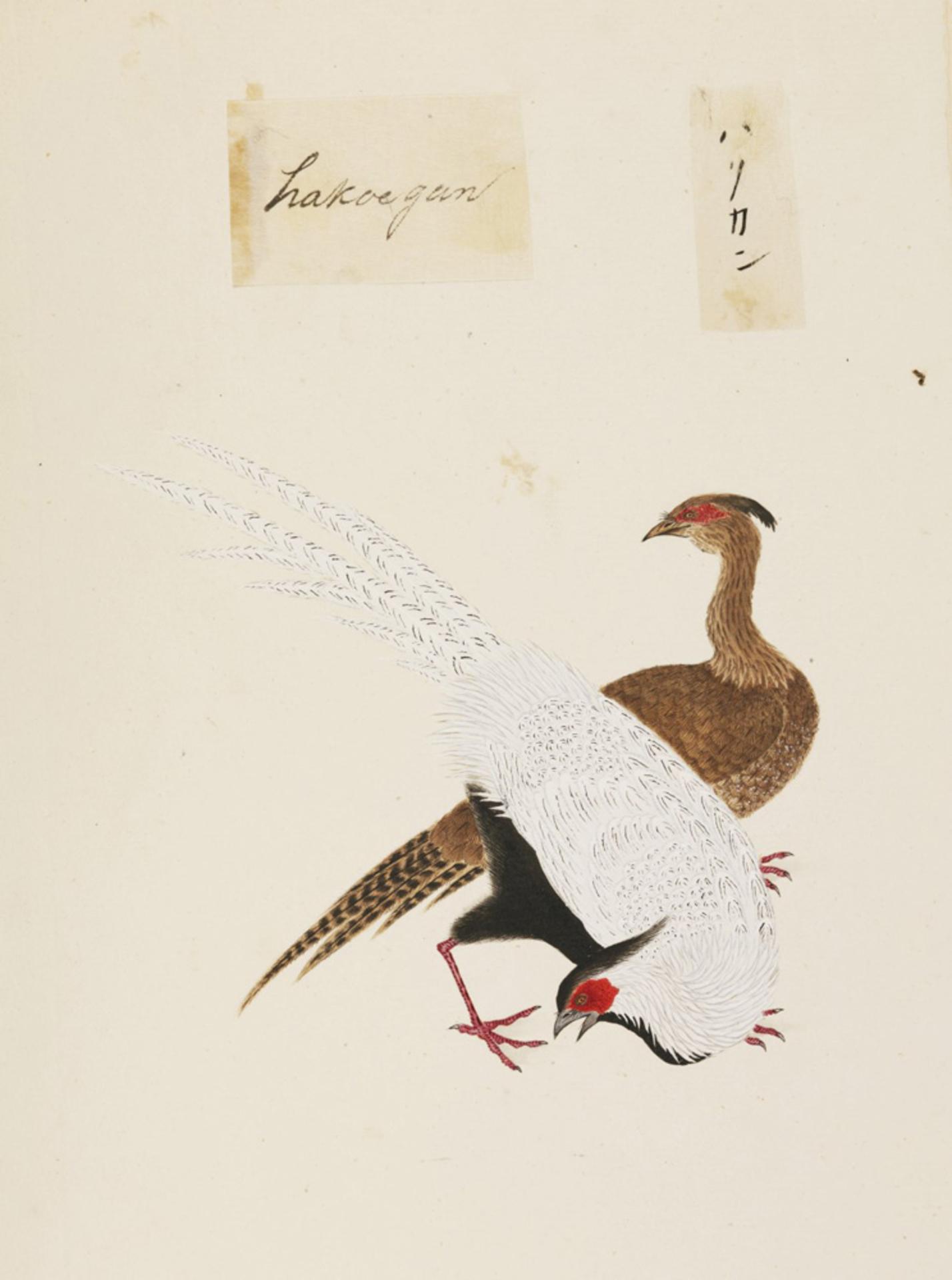 RMNH.ART.443 | Anser caerulescens