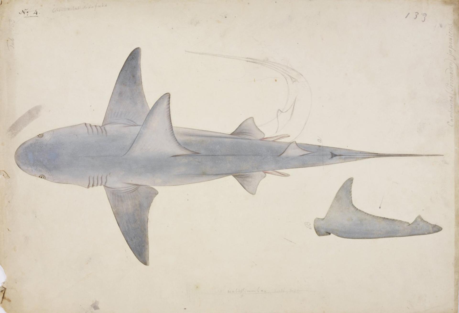RMNH.ART.45 | Carcharhinus gangeticus