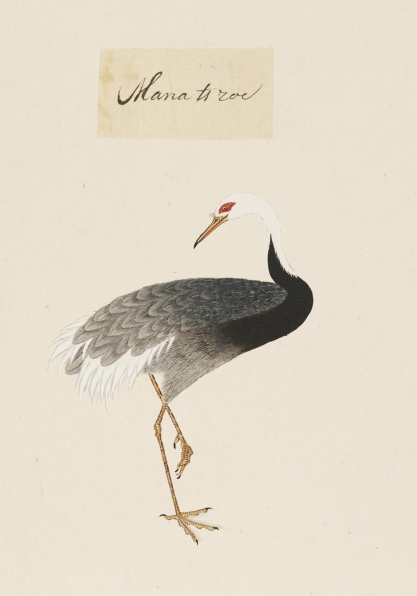 RMNH.ART.458   Grus vipio