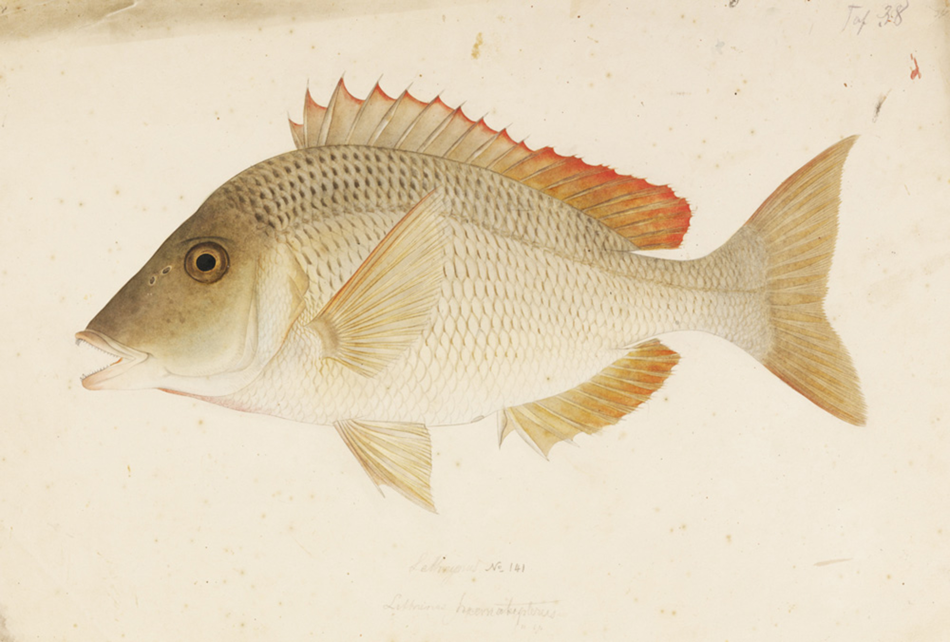 RMNH.ART.459   Lethrinus haematopterus