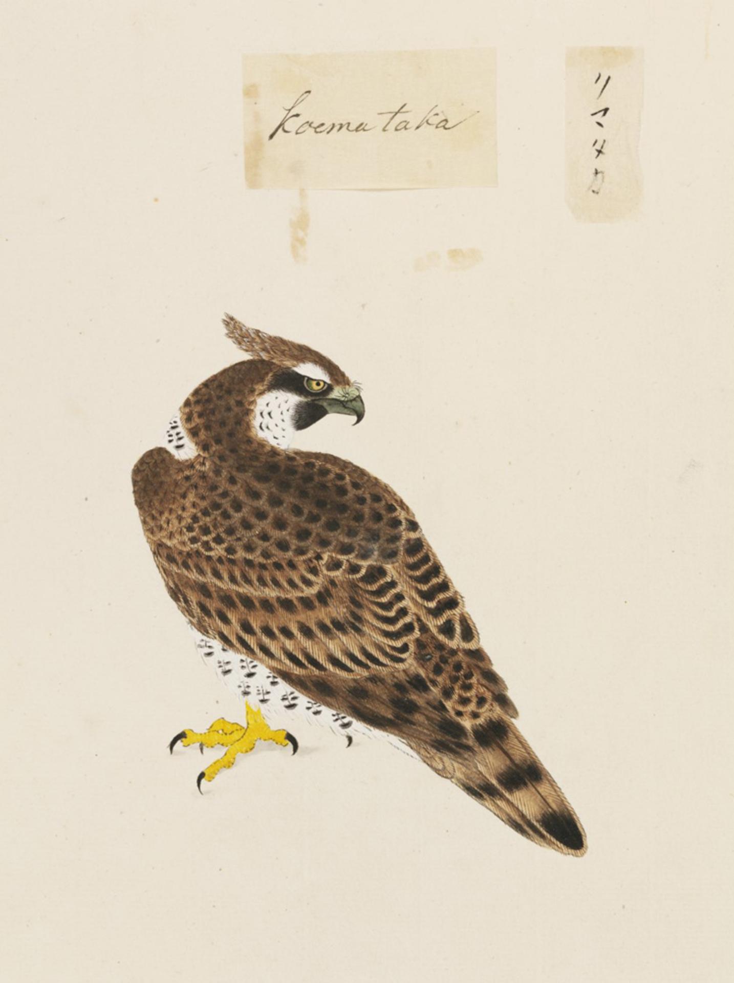 RMNH.ART.461 | Spizaetus nipalensis