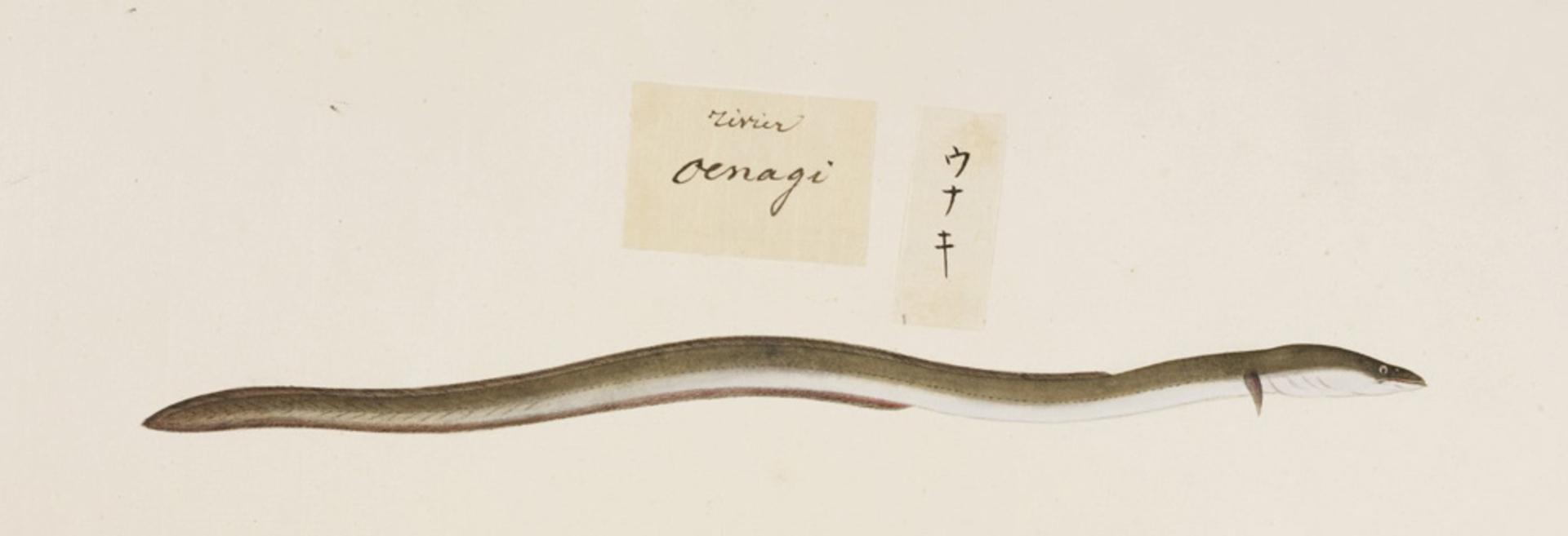 RMNH.ART.462 | Anguilla japonica