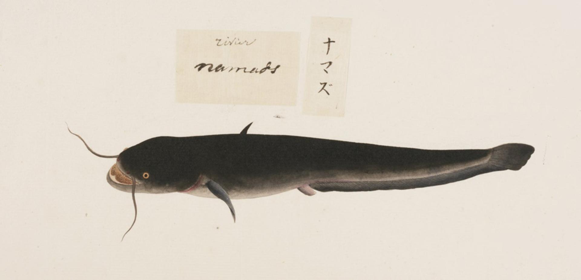 RMNH.ART.463   Silurus asotus