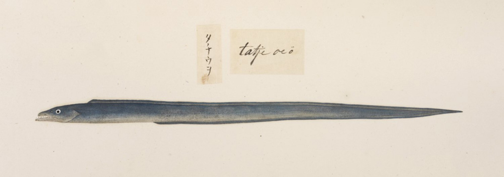 RMNH.ART.468 | Trichurus lepturus