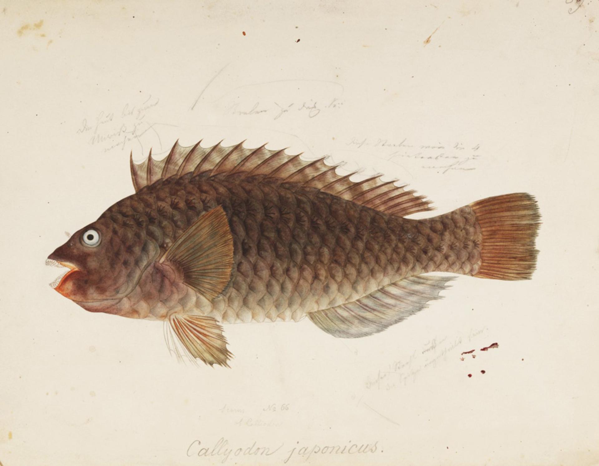 RMNH.ART.47 | Leptoscarus japonicus