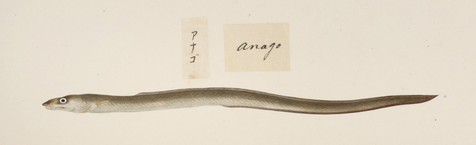 RMNH.ART.471 | Anago or conger