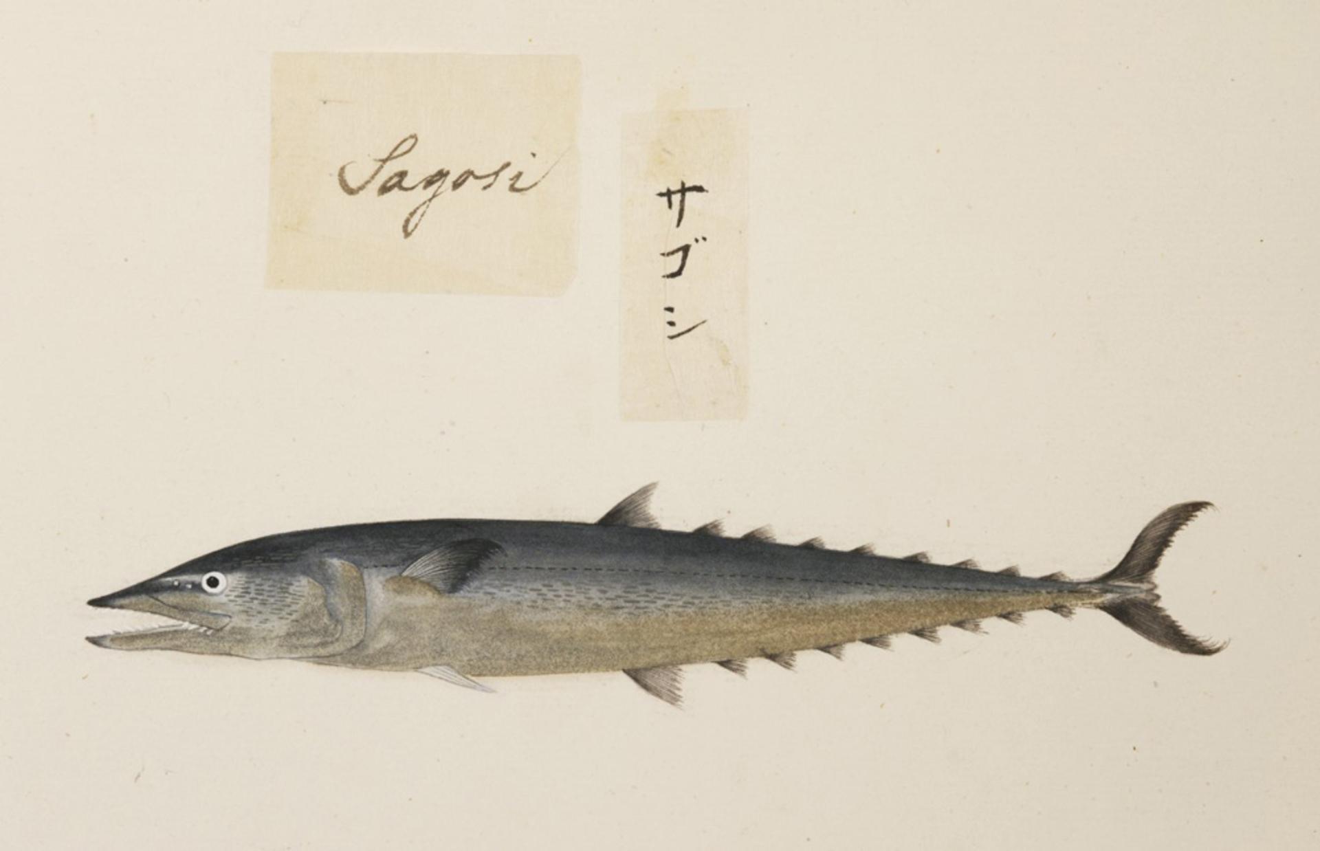 RMNH.ART.474   Scomberomorus sp