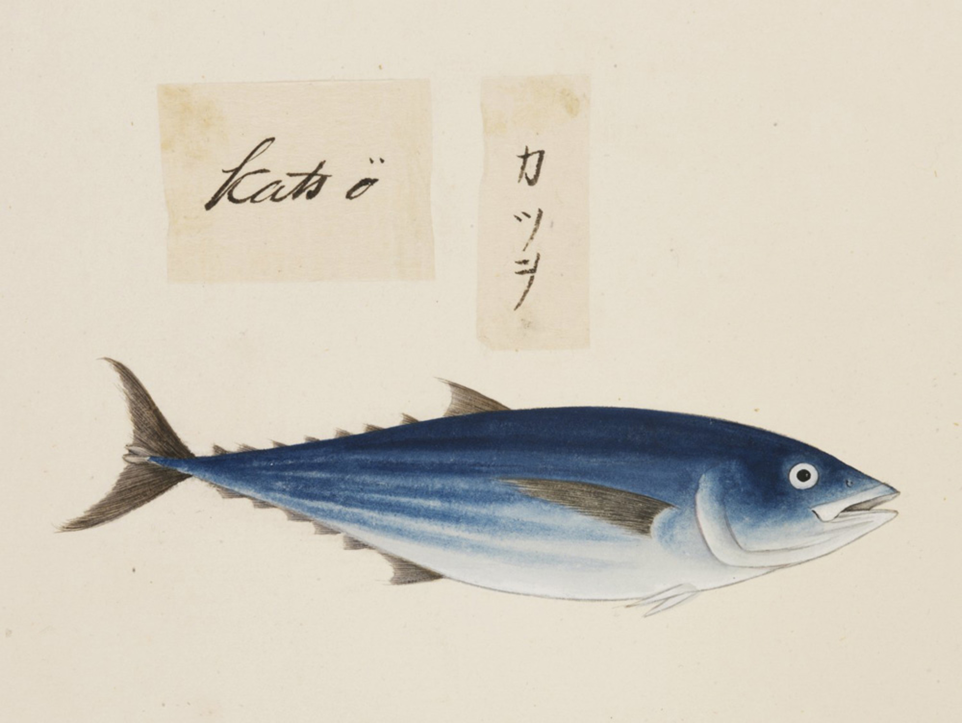 RMNH.ART.479 | Katsuwonus pelamis