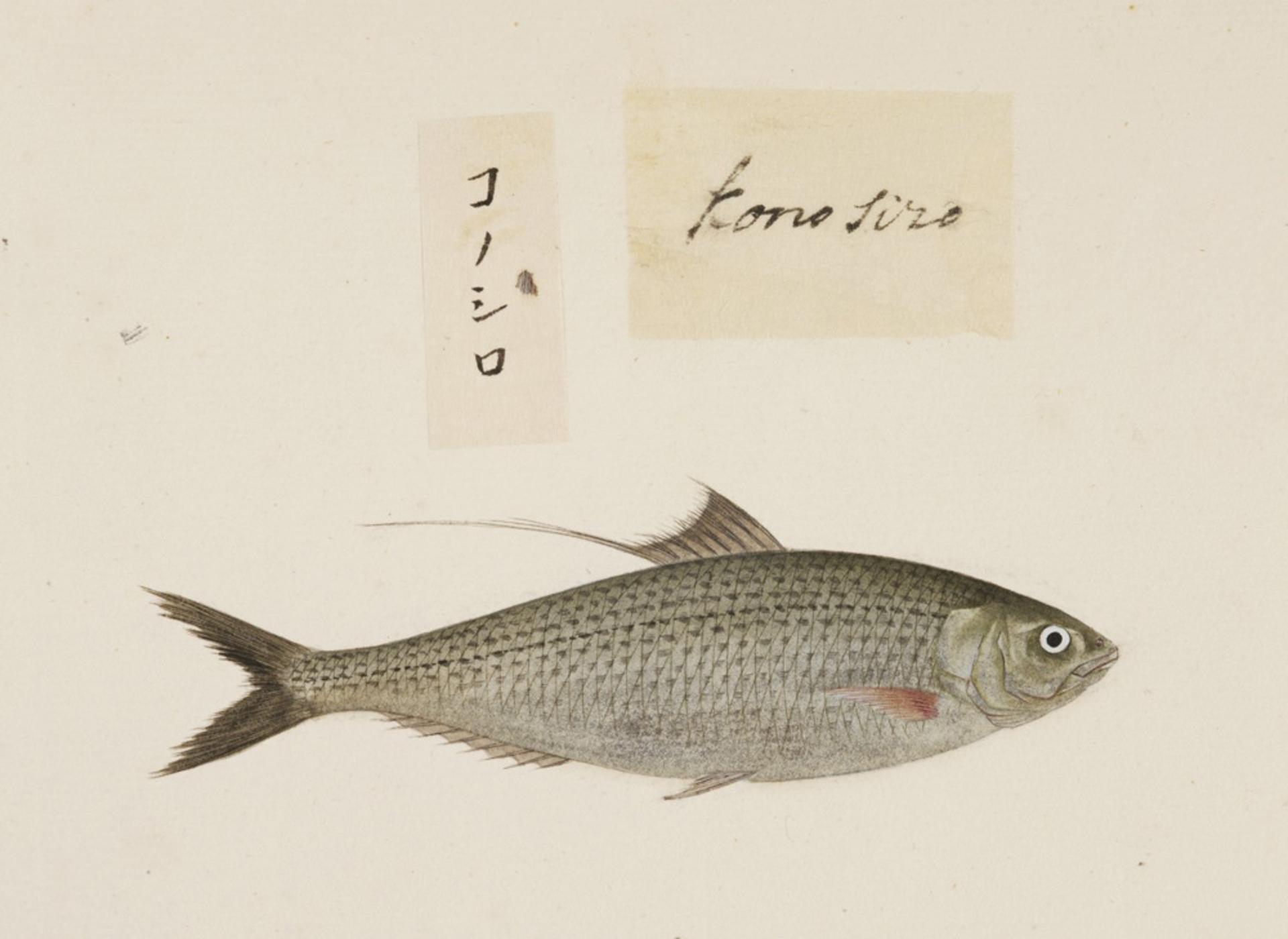 RMNH.ART.481   Konosirus punctatus
