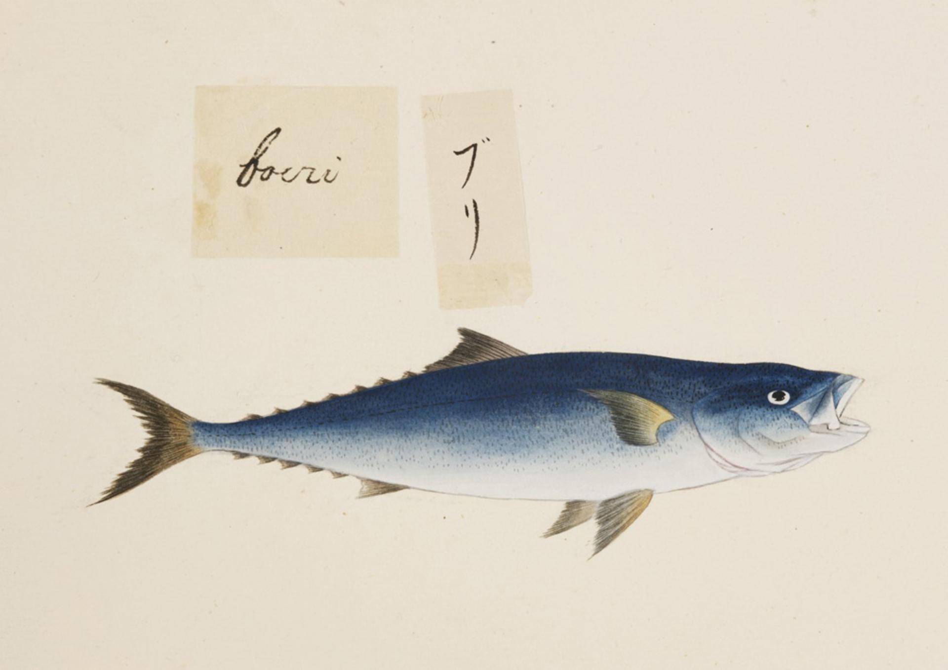 RMNH.ART.484   Seriola quinqueradiata