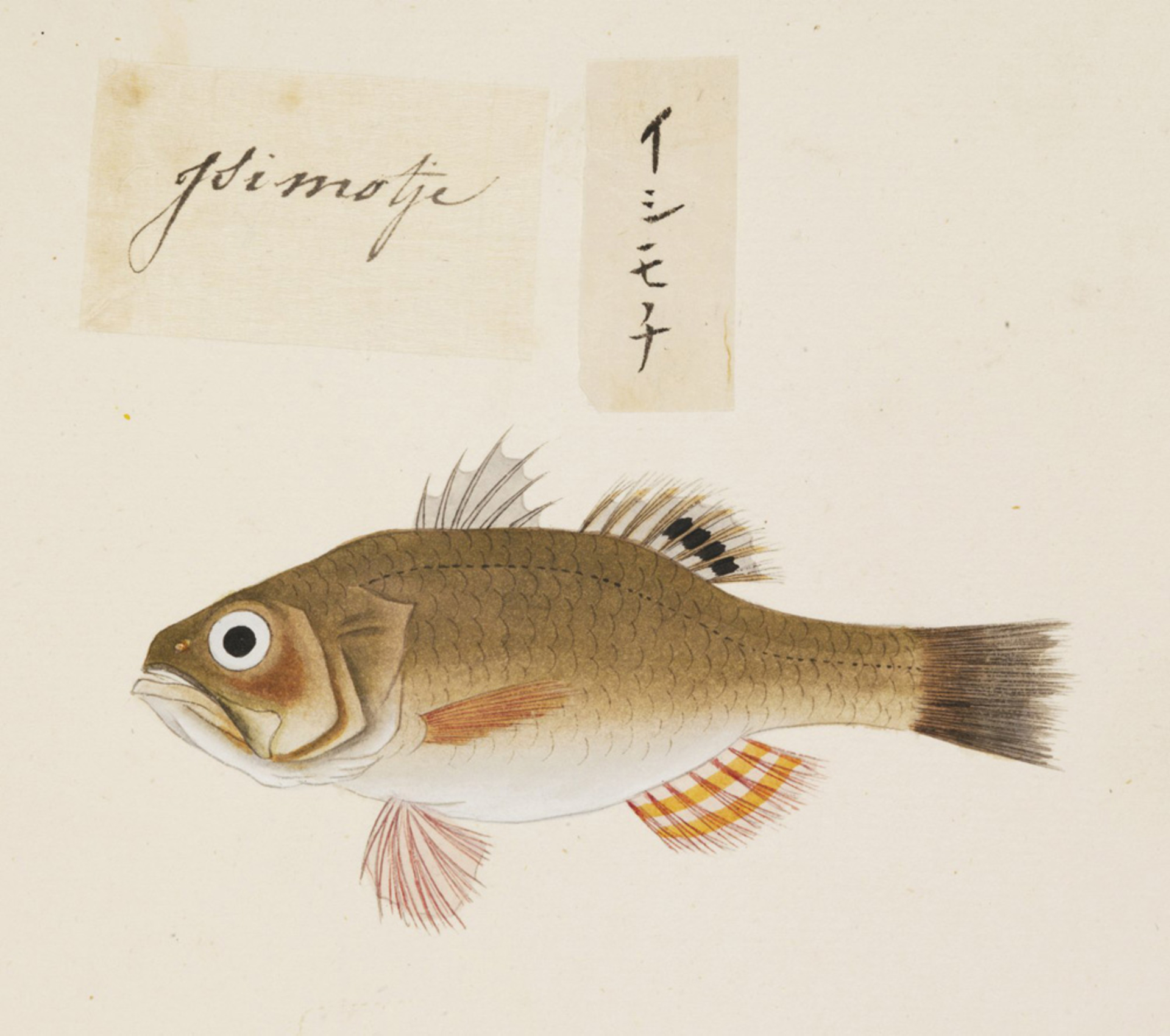 RMNH.ART.485 | Argyrosomus argentatus