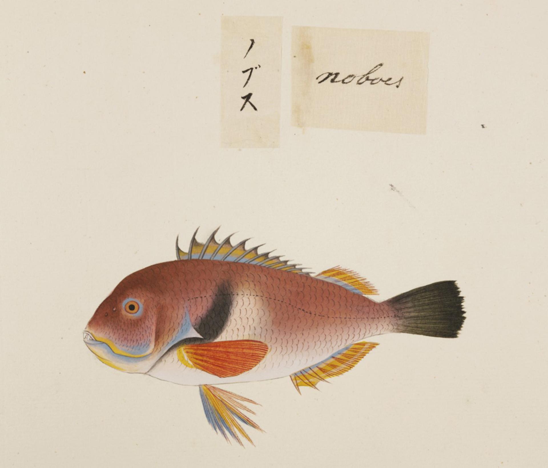RMNH.ART.487 | Choerodens azurio