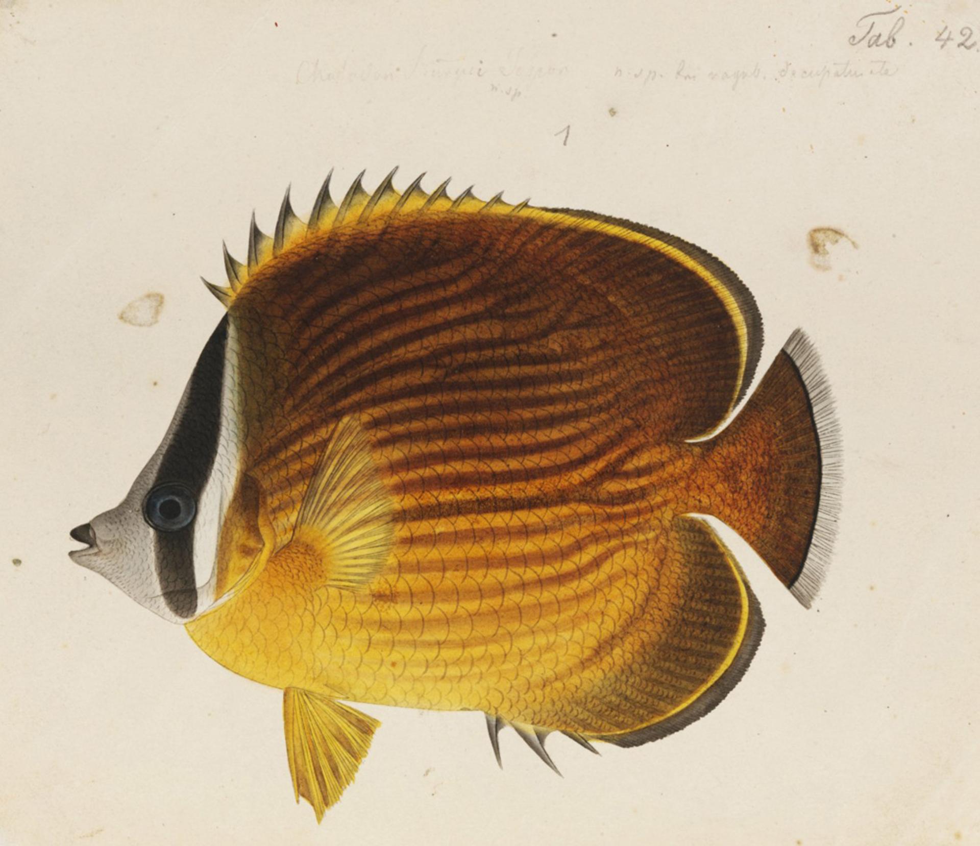 RMNH.ART.489   Chaetodon collare Bloch