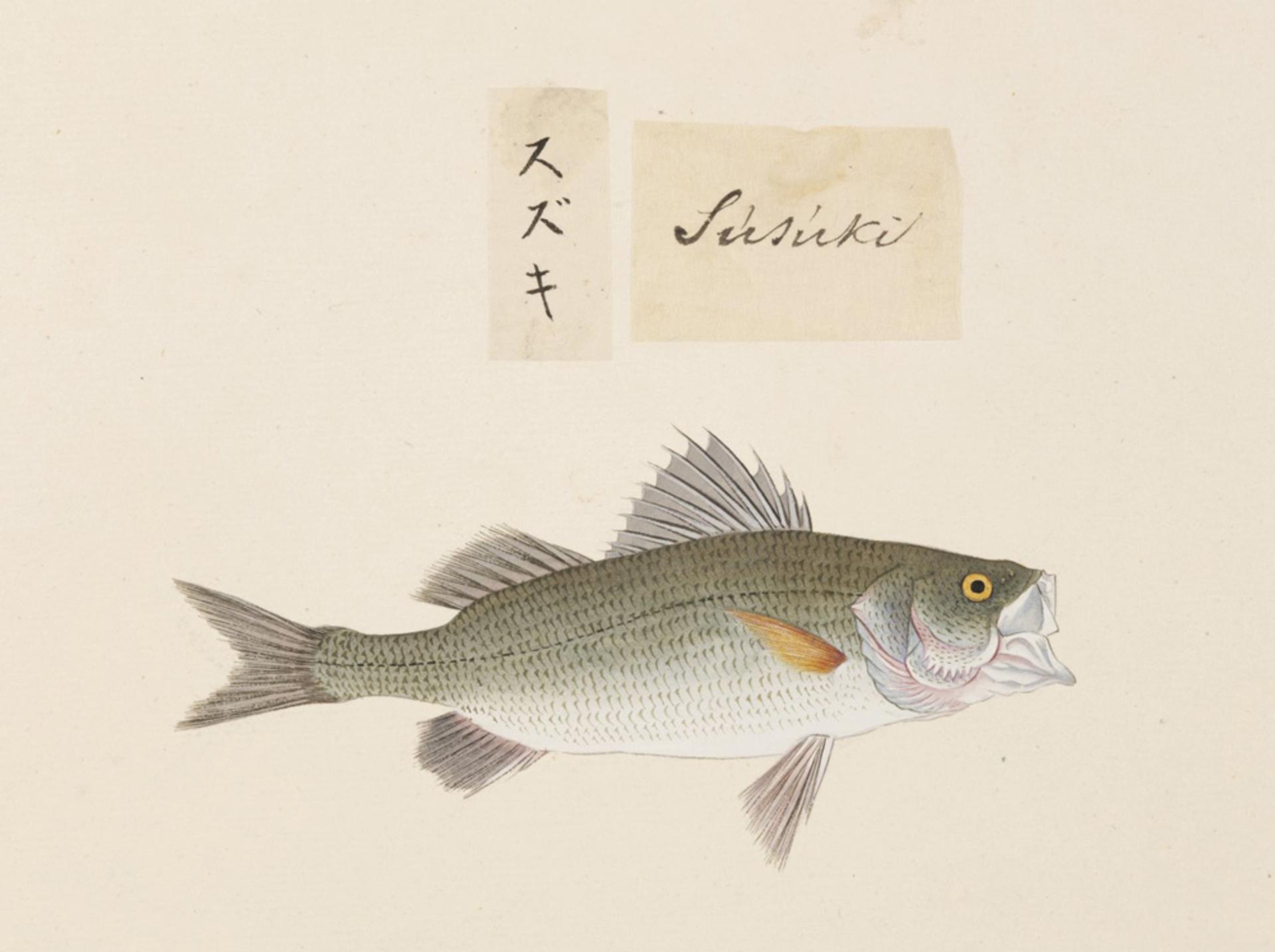RMNH.ART.497 | Lateolabrax japonicus