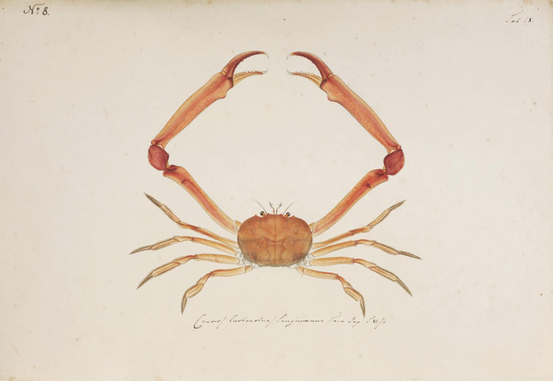 RMNH.ART.5 | Carcinoplax longimana