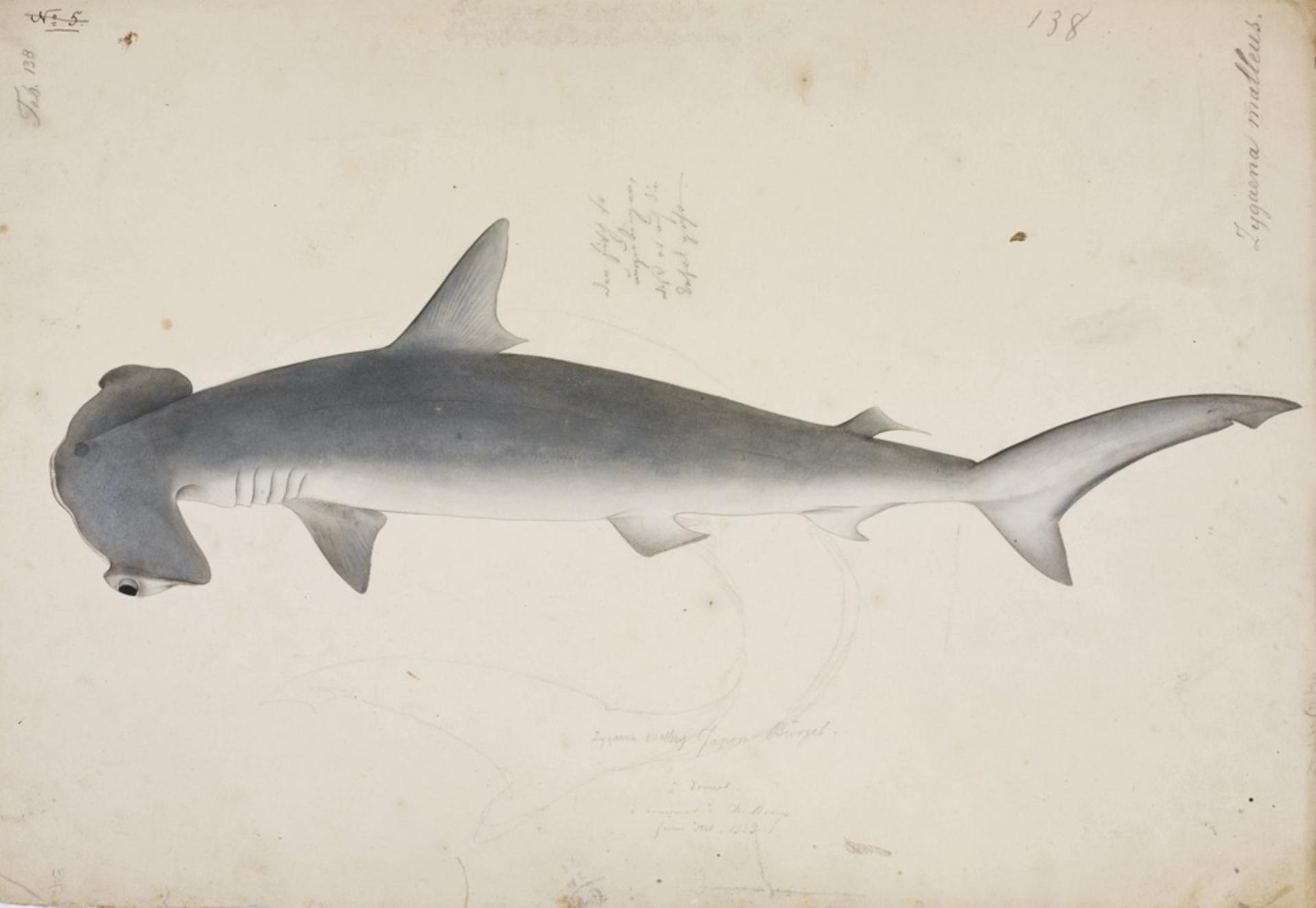 RMNH.ART.50 | Sphyrna zygaena