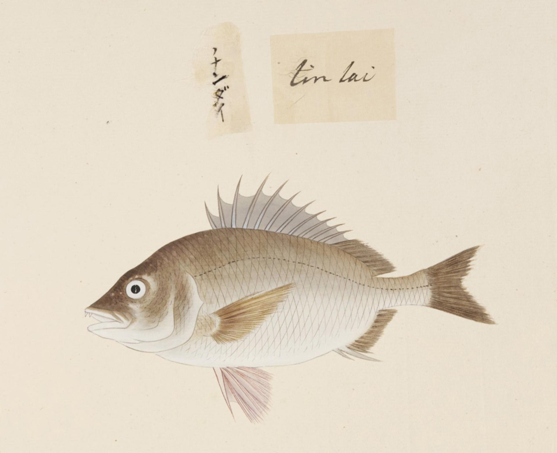 RMNH.ART.501 | Acanthopagrus schlegelii