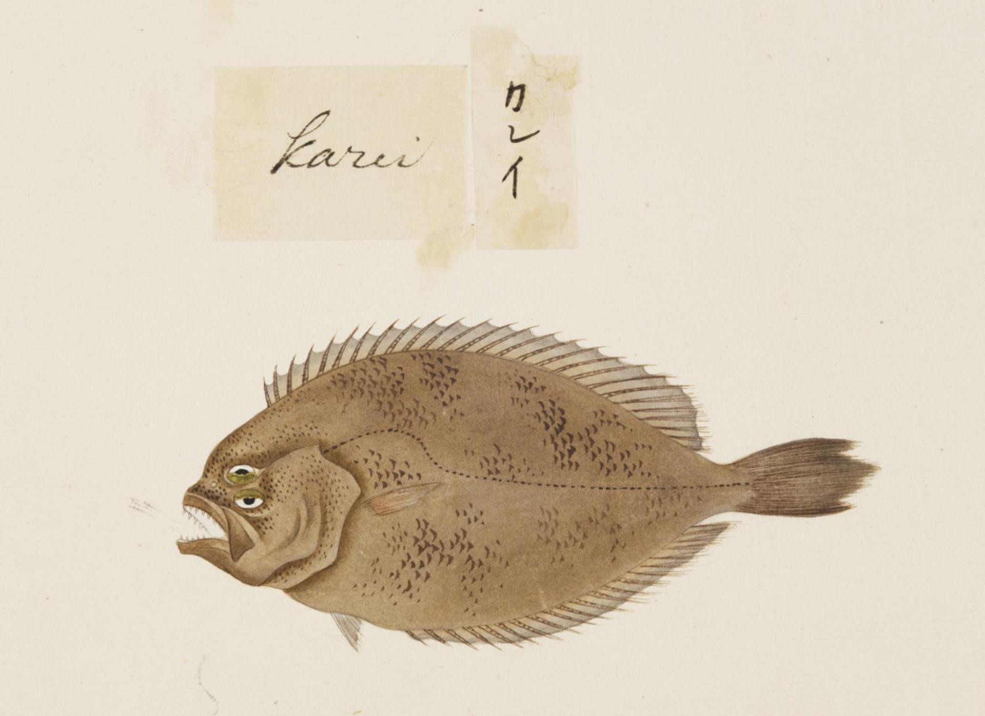 RMNH.ART.505 | Paralichthys olivaceus