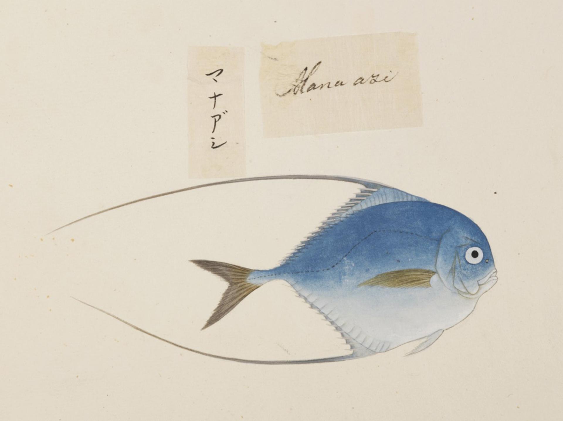 RMNH.ART.516 | Alectis ciliaris