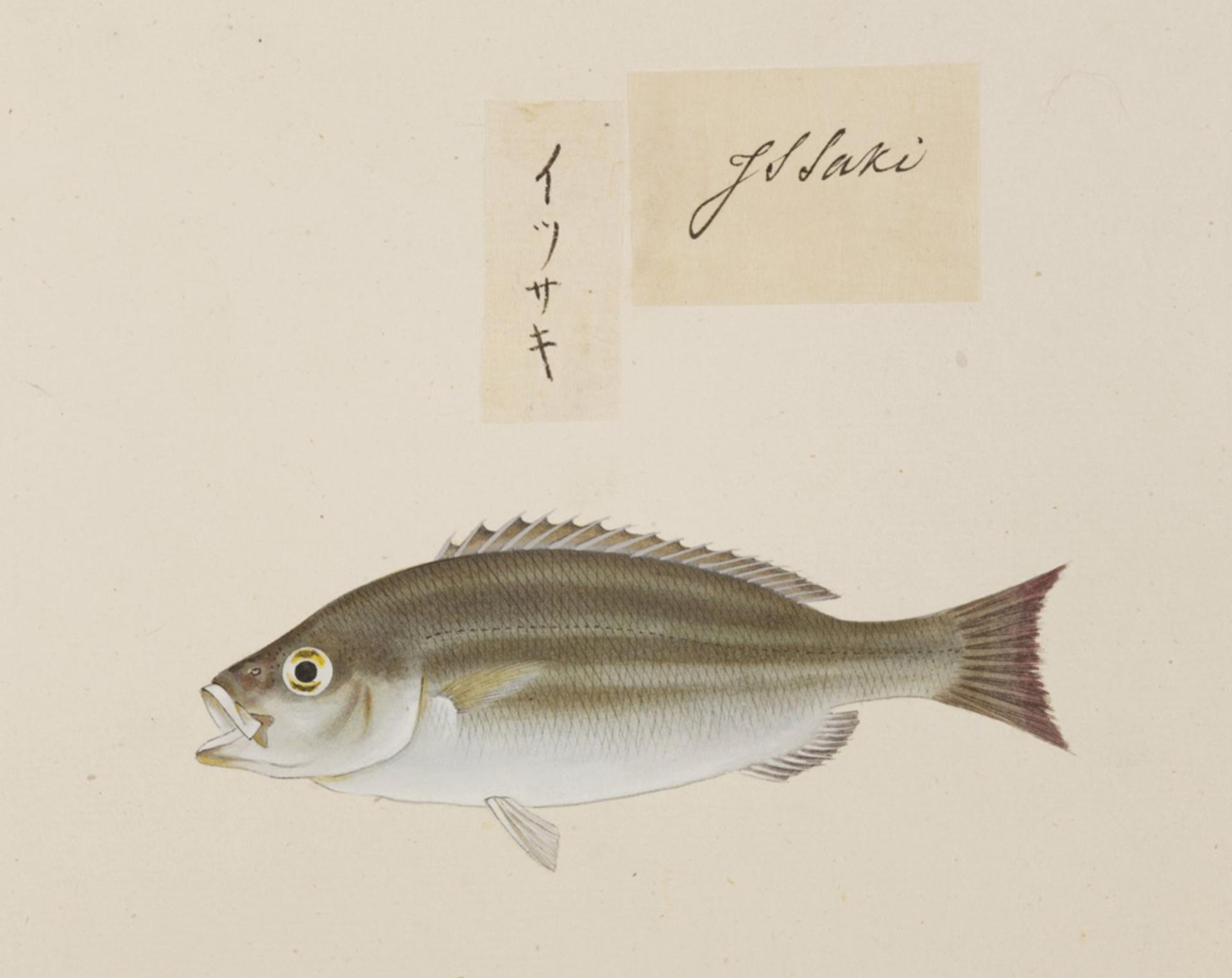 RMNH.ART.517 | Lutjanus sp
