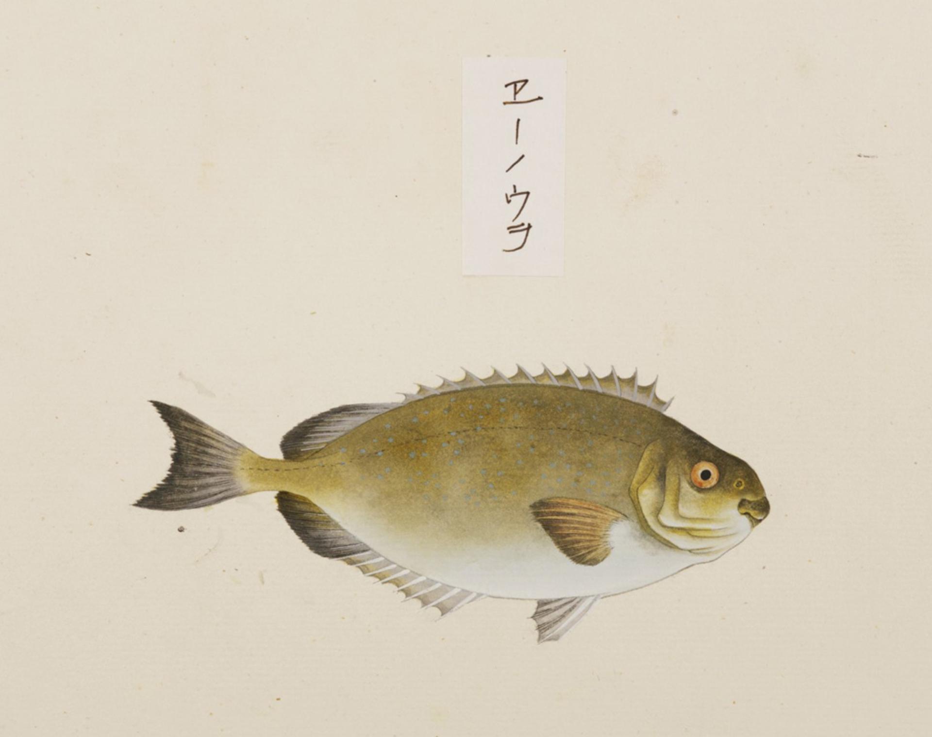RMNH.ART.523   Siganus fuscenscens