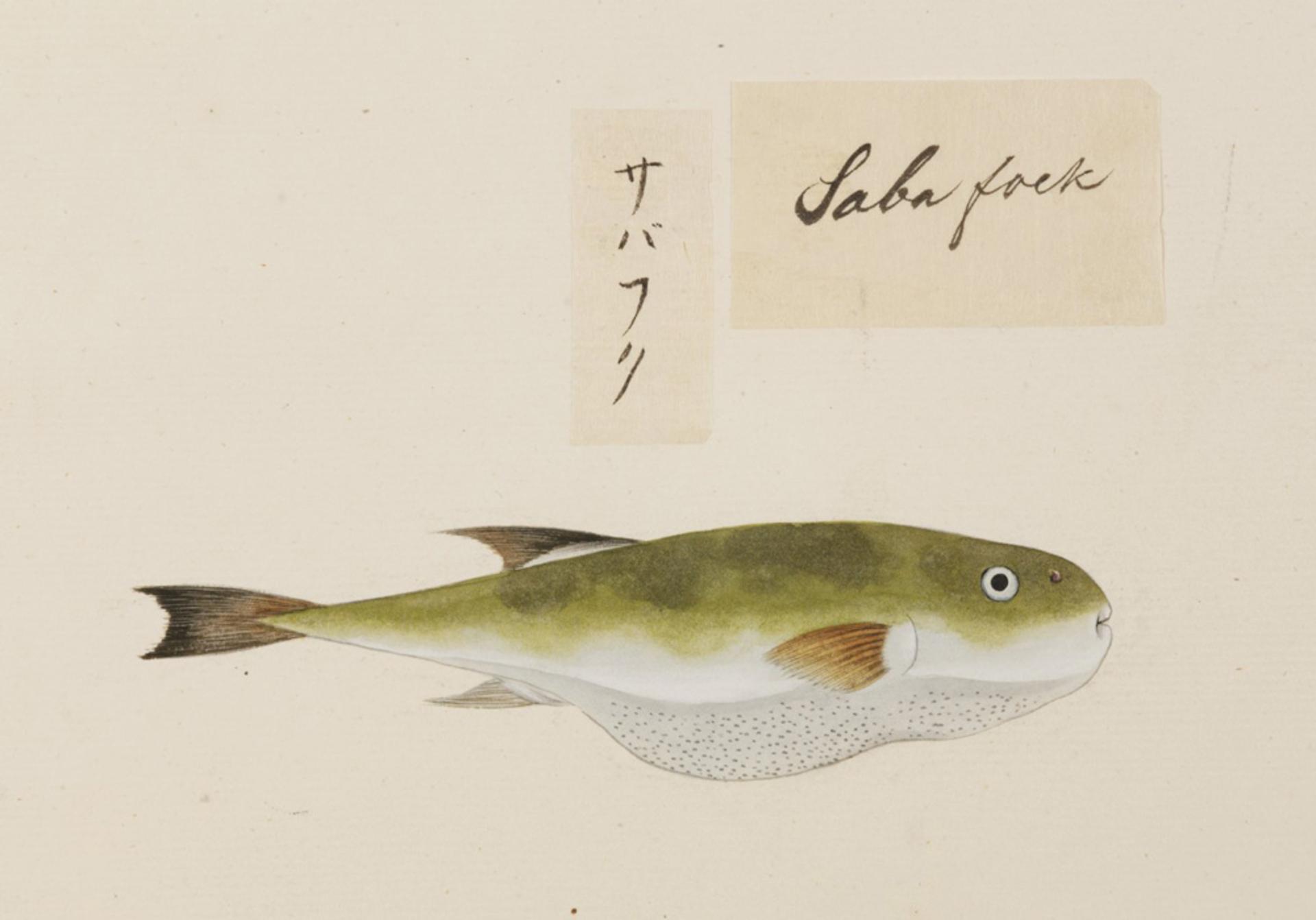 RMNH.ART.526   Lagocephalus inermis