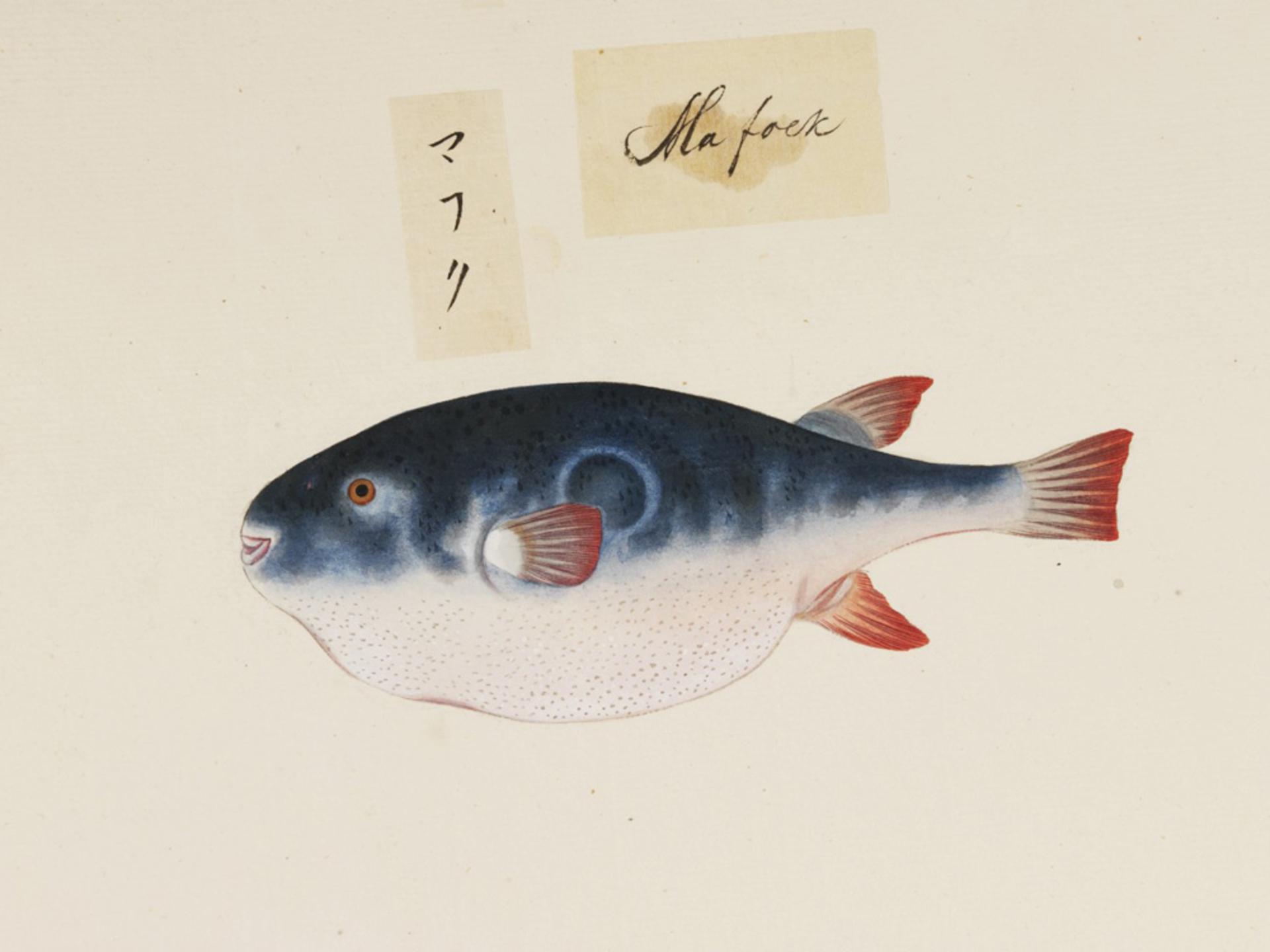 RMNH.ART.530   Takifugu rubripes