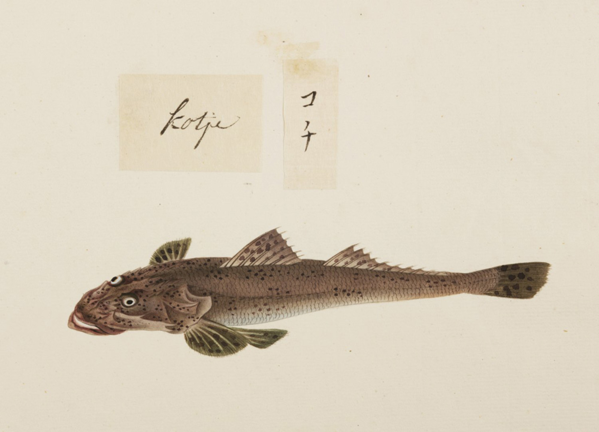 RMNH.ART.531 | Cociella crocodila?