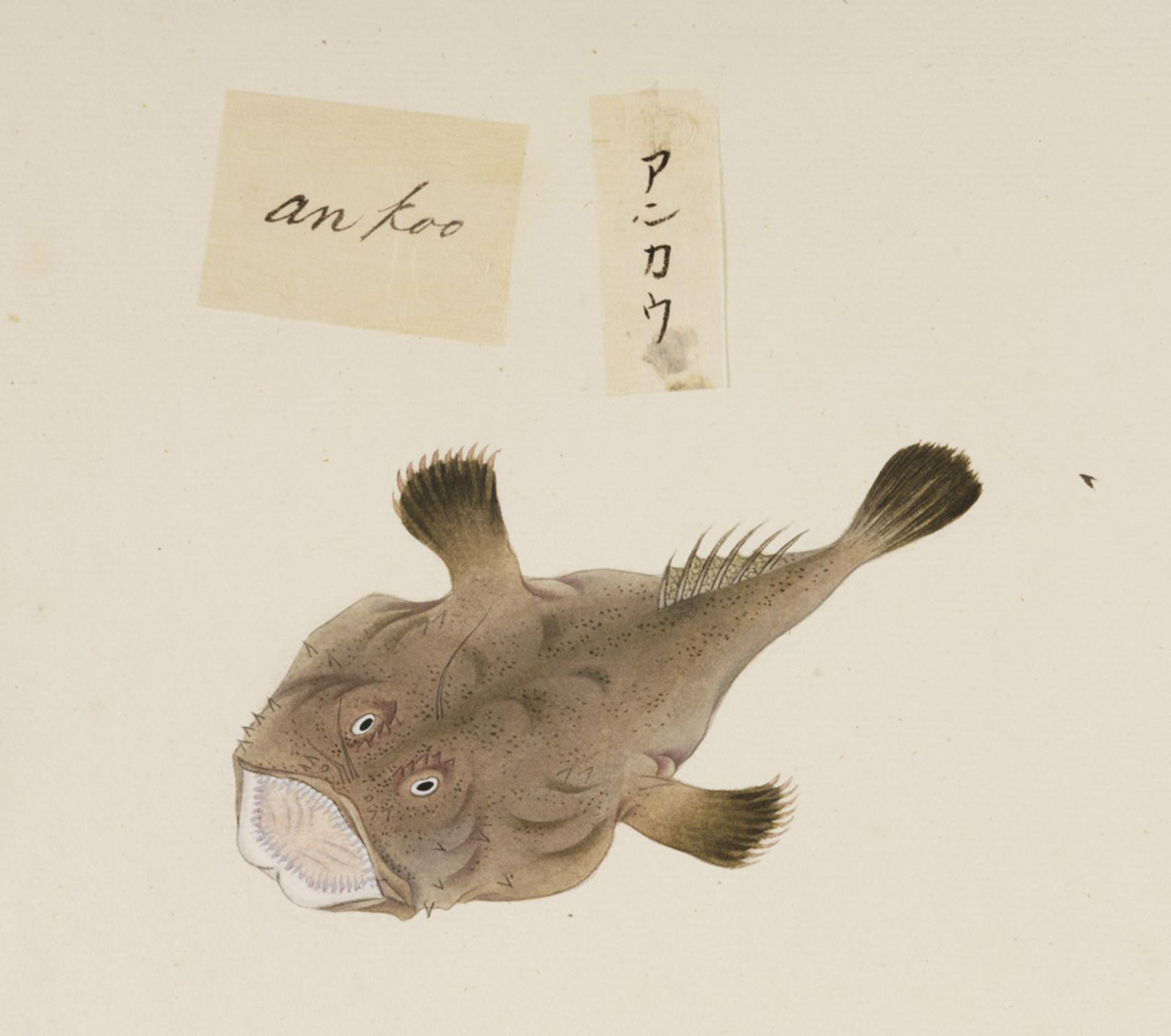 RMNH.ART.536 | Lophiomus setigerus