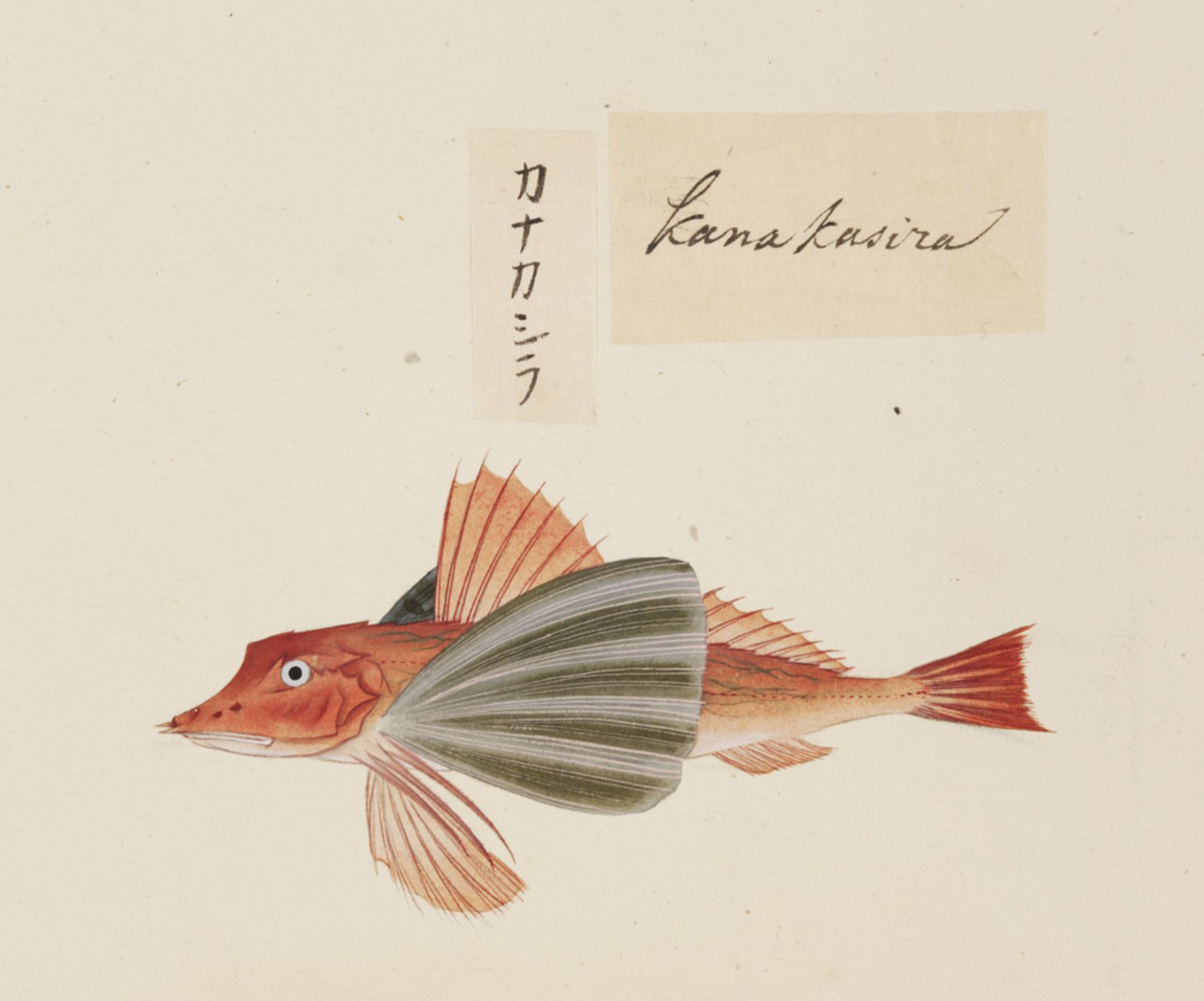 RMNH.ART.540 | Chelidonichthys spinosus