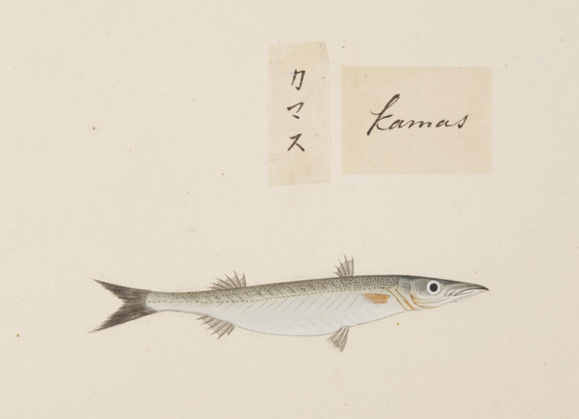 RMNH.ART.541 | Sphyracena sp